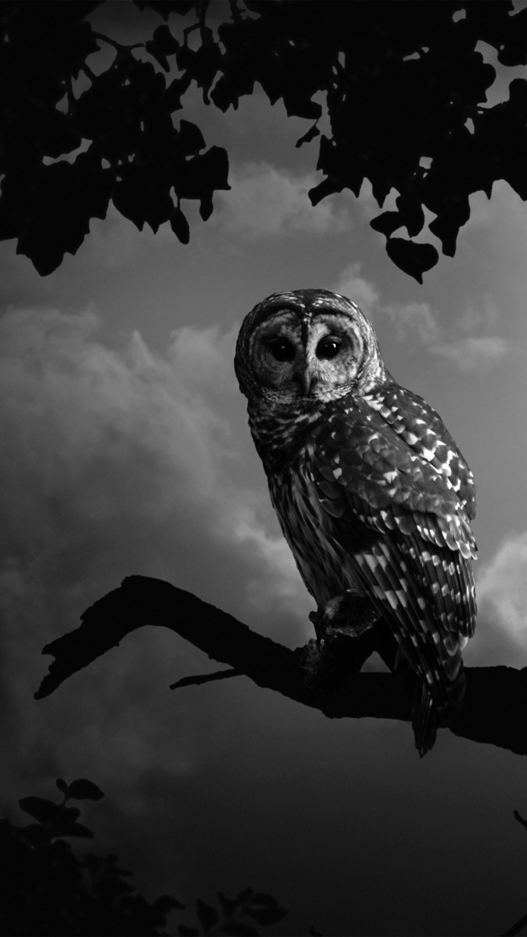 Black and white animals white owl wallpaper x