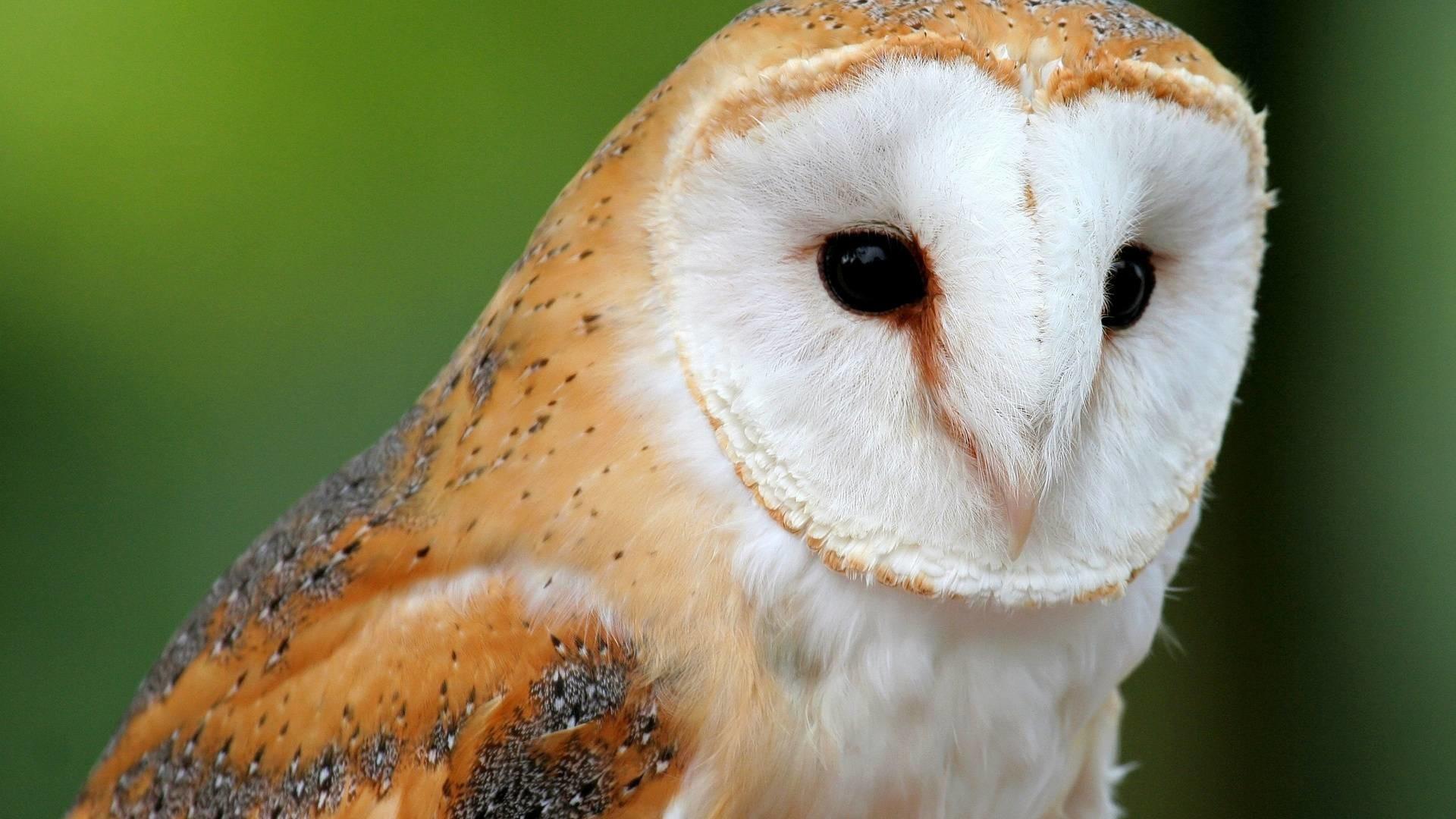 Barn Owl, Barn Owl wallpaper.