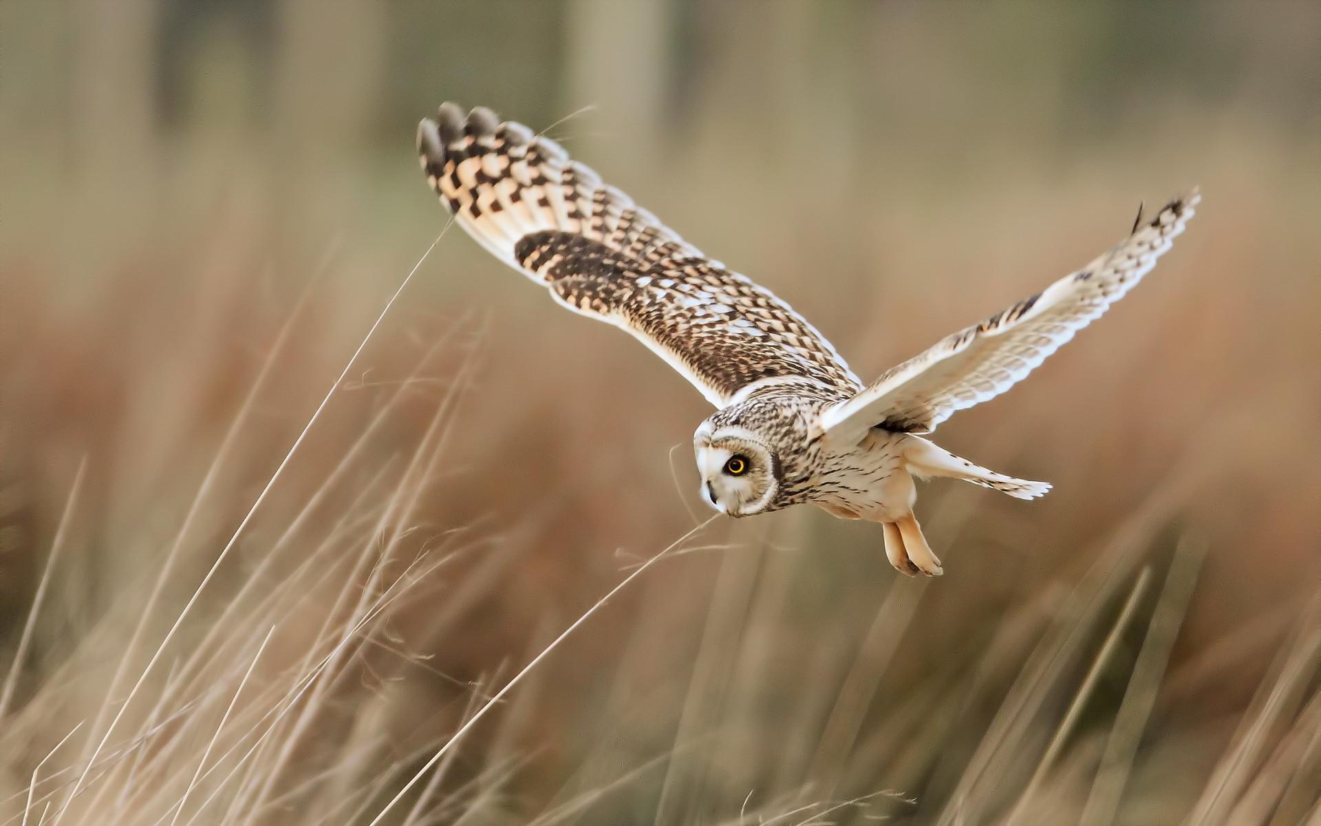 Flying Owl Wallpaper Background 2556