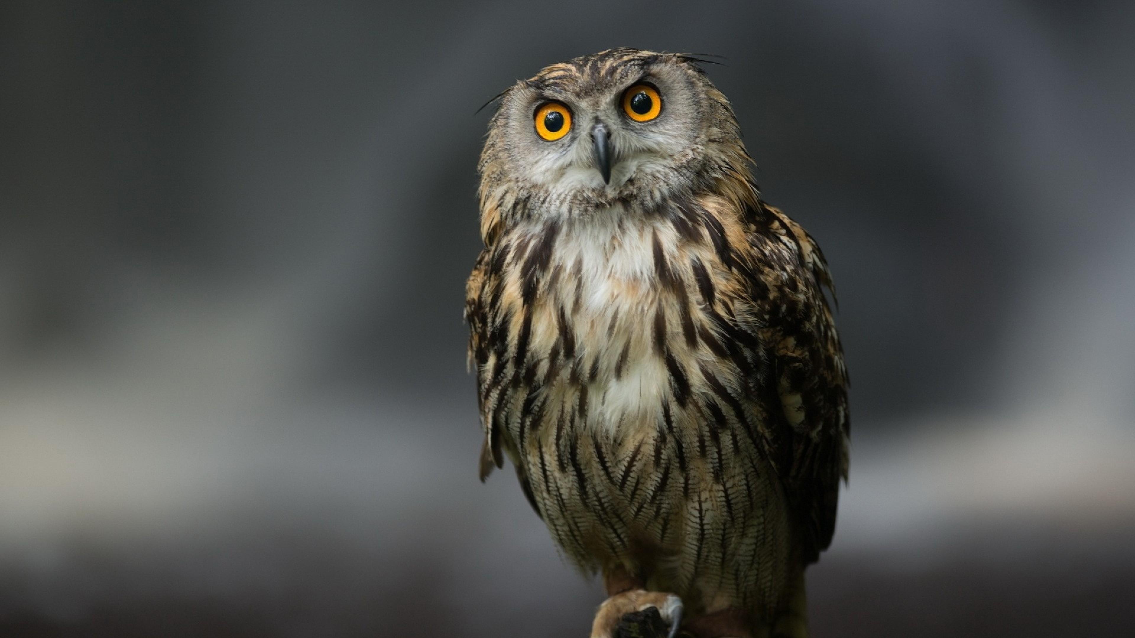 Wallpaper owl, bird, predator, sitting, feathers