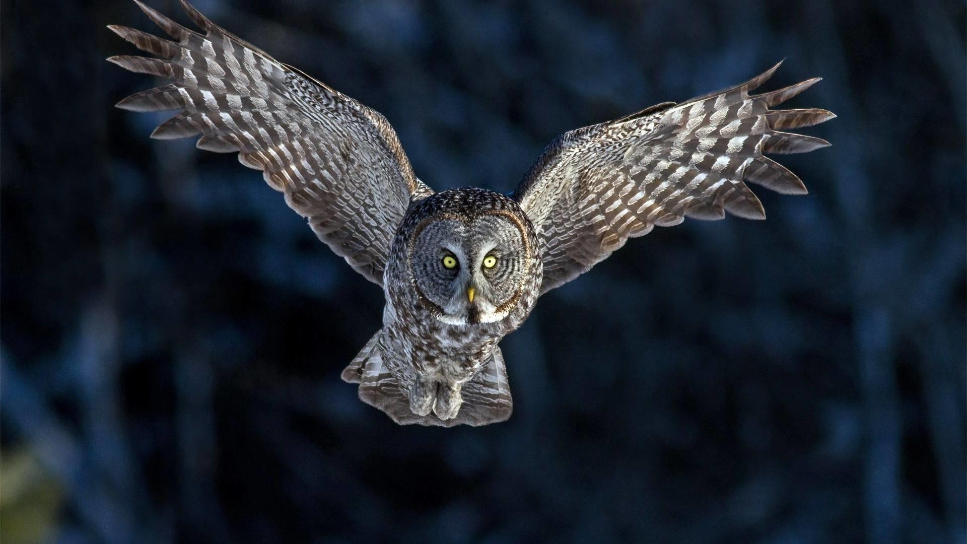 Flying Owl, Flying Owl wallpaper.