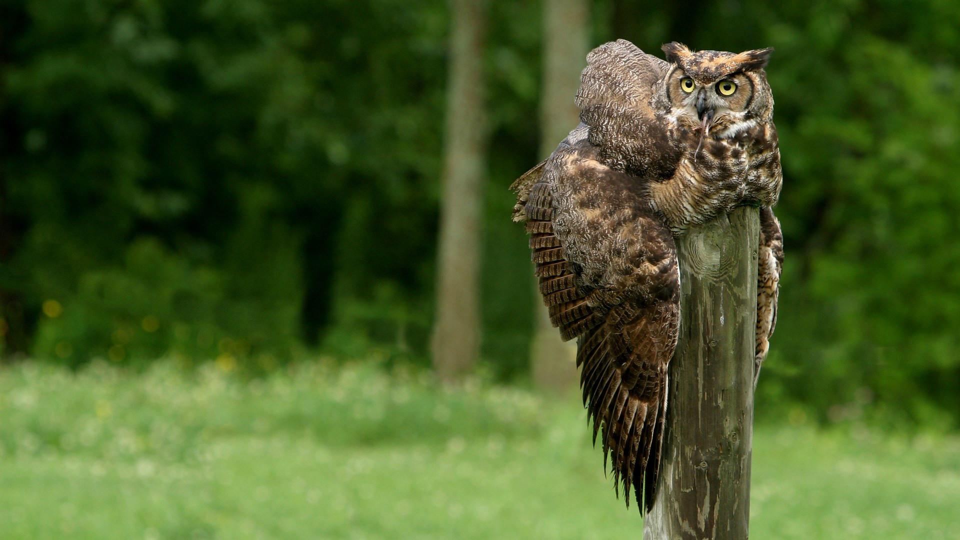 … Great Horned Owl 1080p Wallpaper
