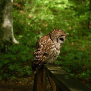 Owl Wallpaper Pictures
