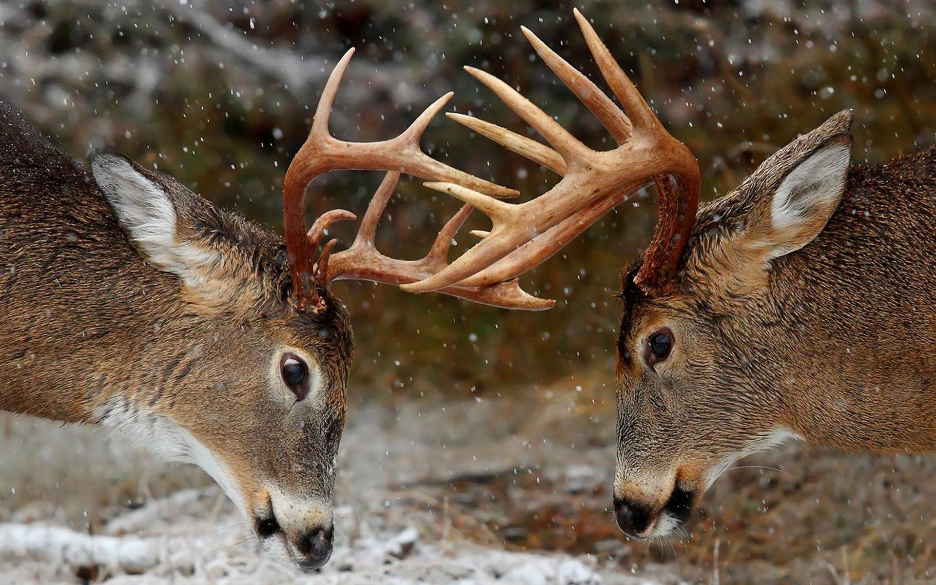 deer iphone hd wallpapers | Desktop Backgrounds for Free HD Wallpaper .