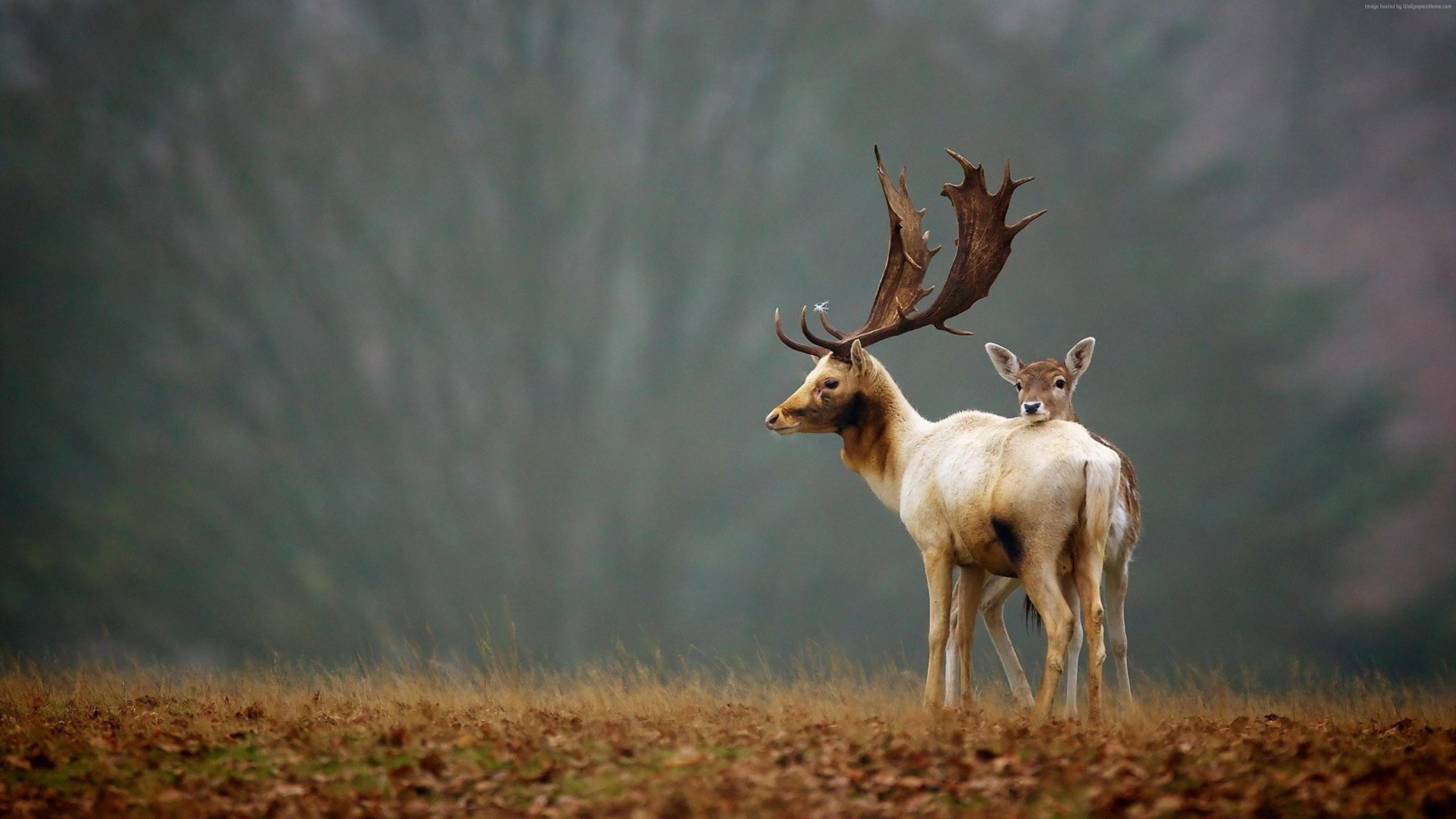 deer themed wallpaper for desktops, 991 kB – Delton Thomas