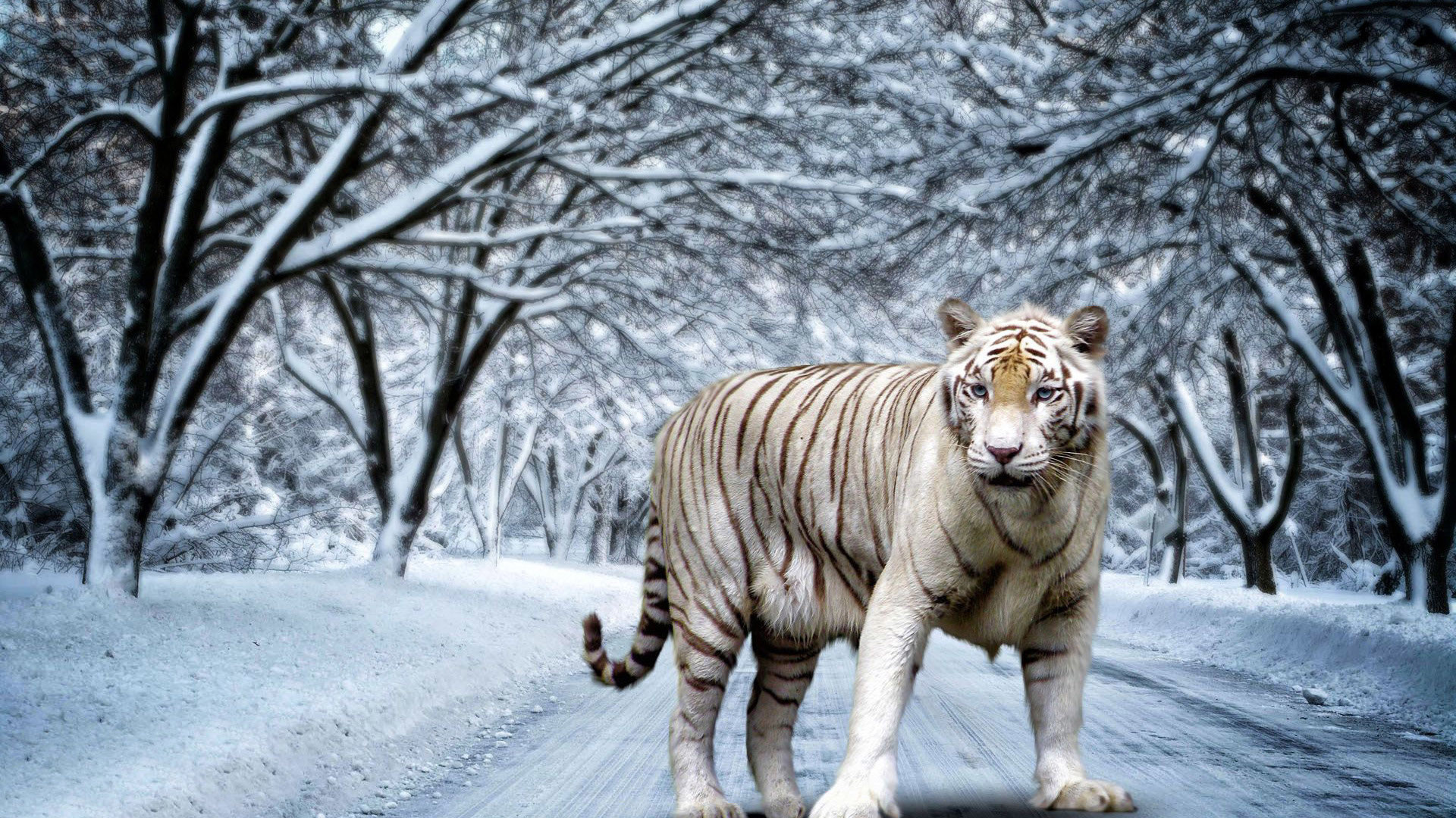 white tiger high definition backgrounds hd desktop wallpapers cool free  1920×1080