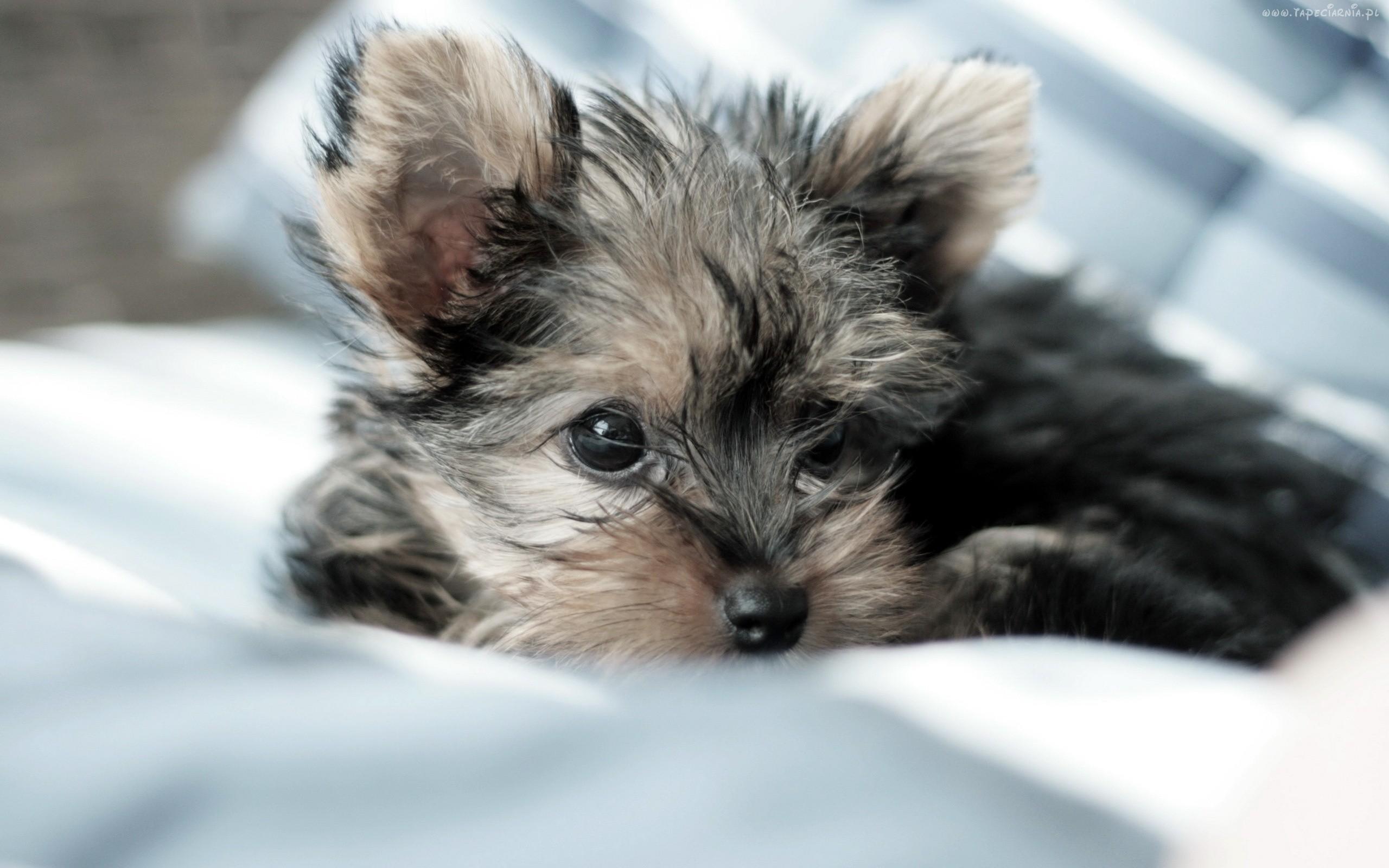 Yorkie Puppies Wallpaper Desktop. Dogs, Wallpaper, Puppies, Yorkie .
