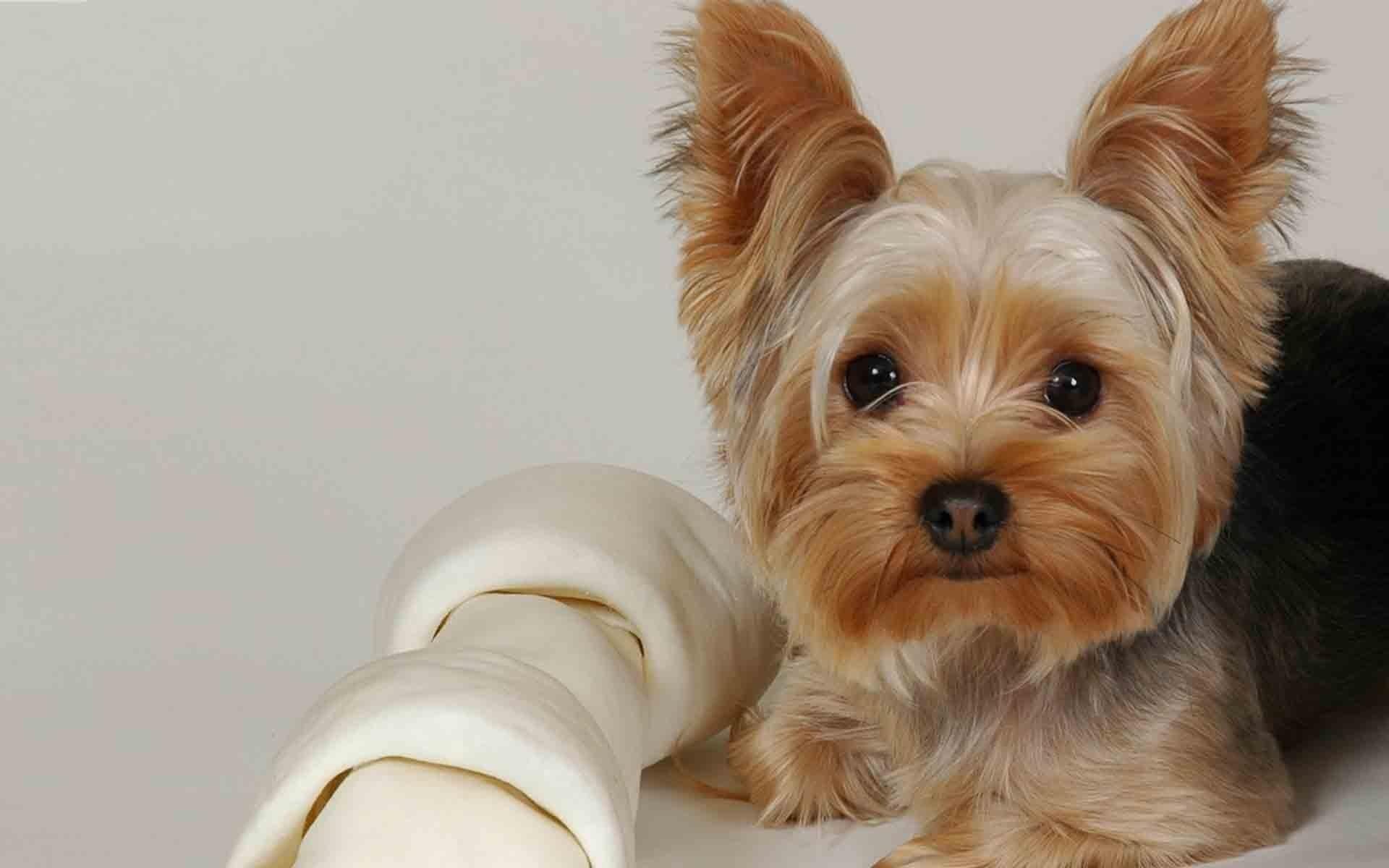 Chihuahua Yorkie Mix HD Wallpaper | Animals Wallpapers | Yorkie | Pinterest  | Animal wallpaper, Chihuahua mix and Animal