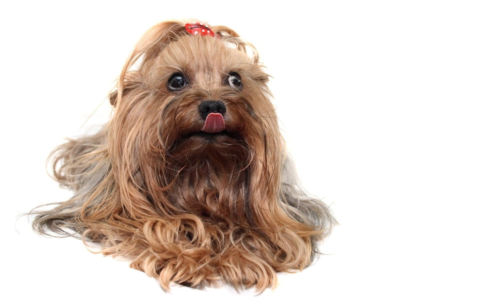 yorkie dog breed. Â«Â«