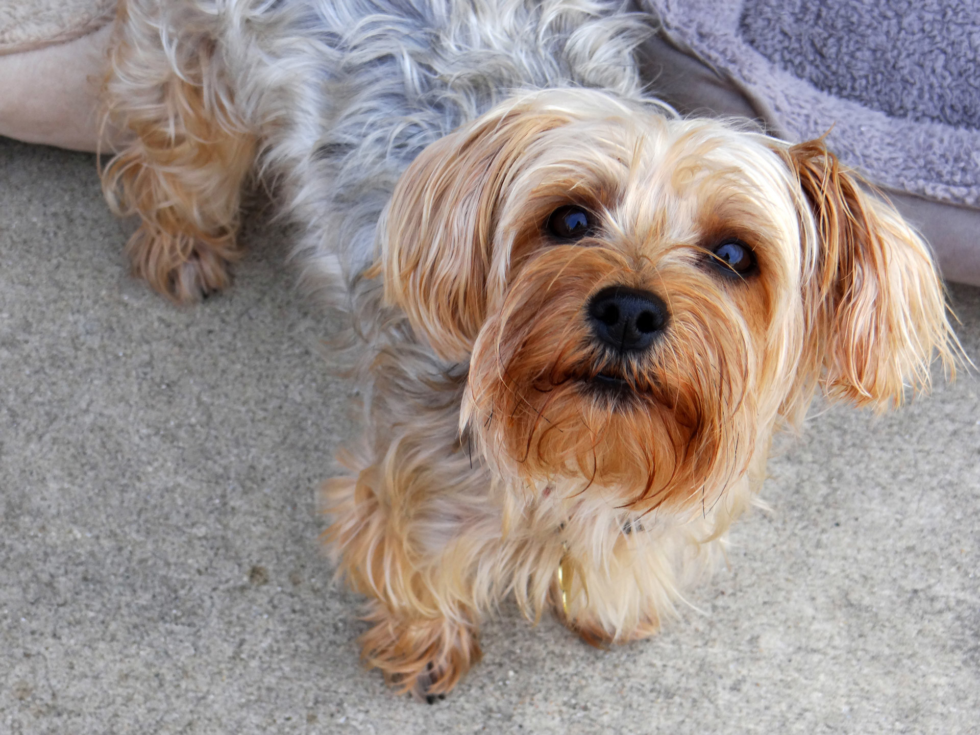 Yorkie Puppy Free Stock Photo HD – Public Domain Pictures