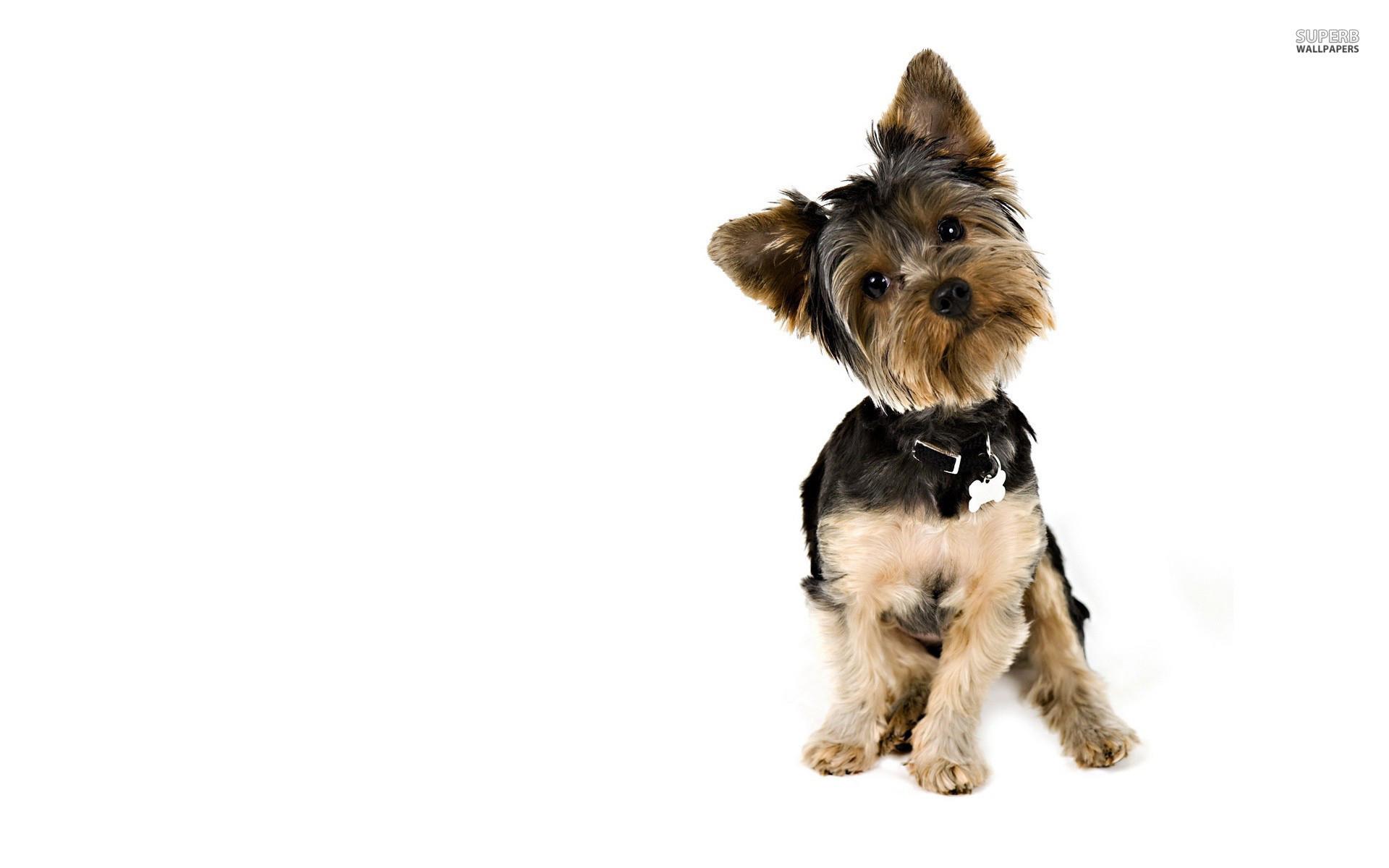 Yorkshire Terrier hd