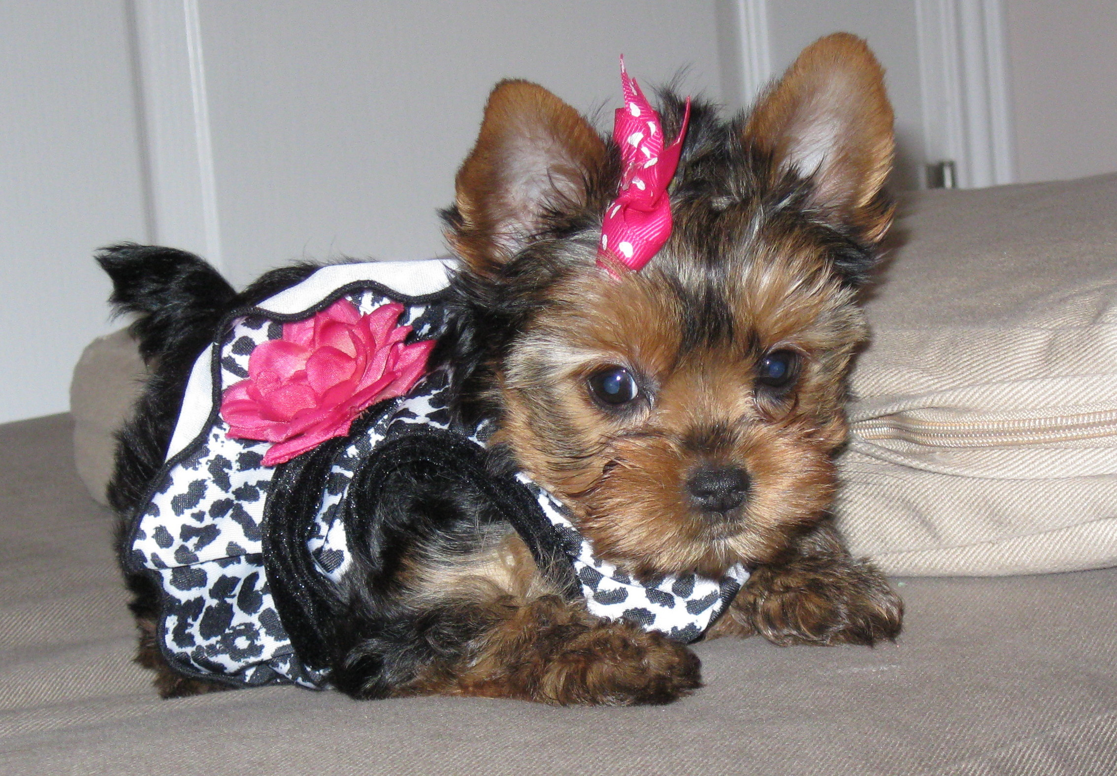 yorkie and yorkshire terrier 168 – Yorkie And Yorkshire Terrier