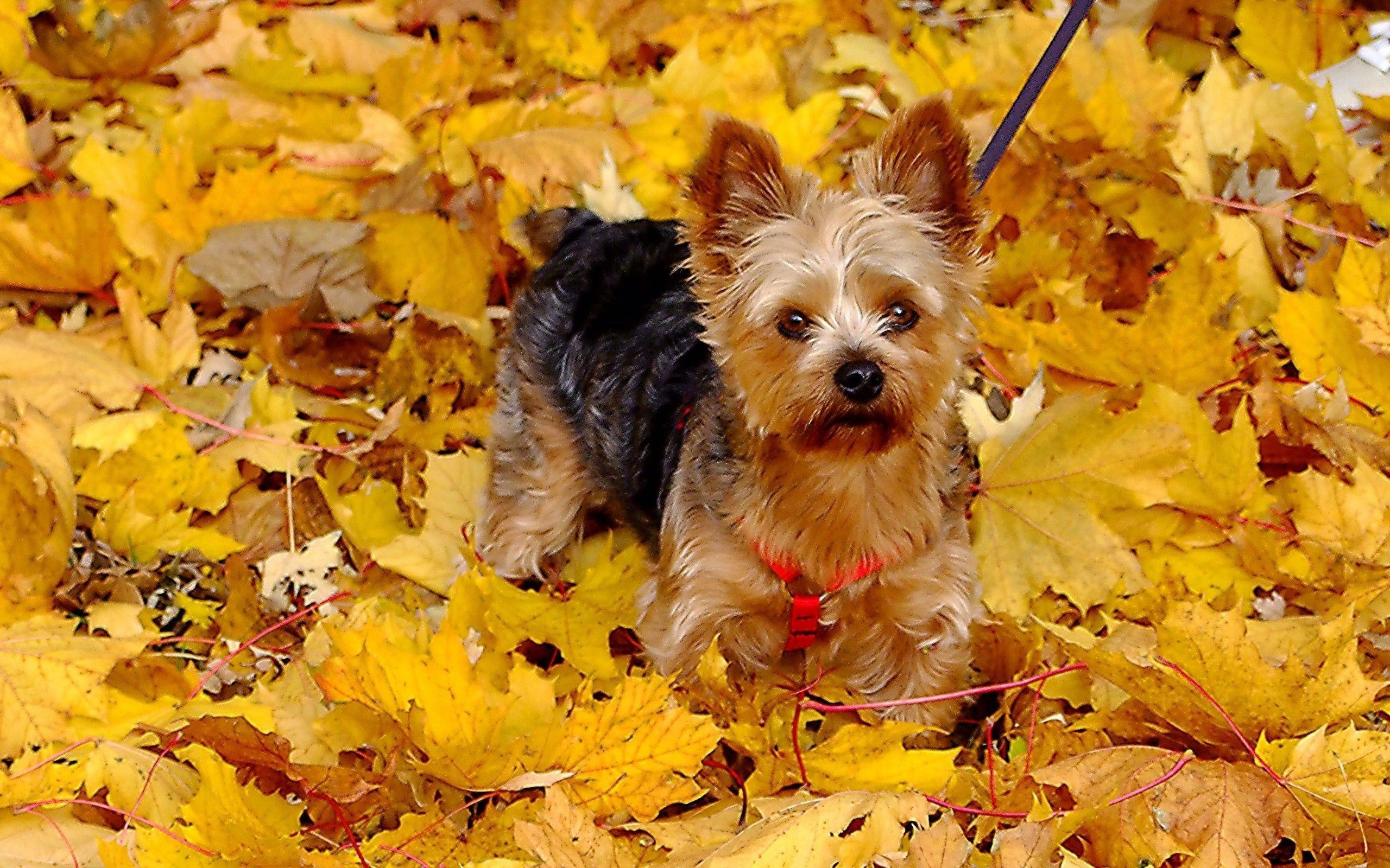 Free Desktop Wallpaper Yorkie Puppies – The Cutest Puppies