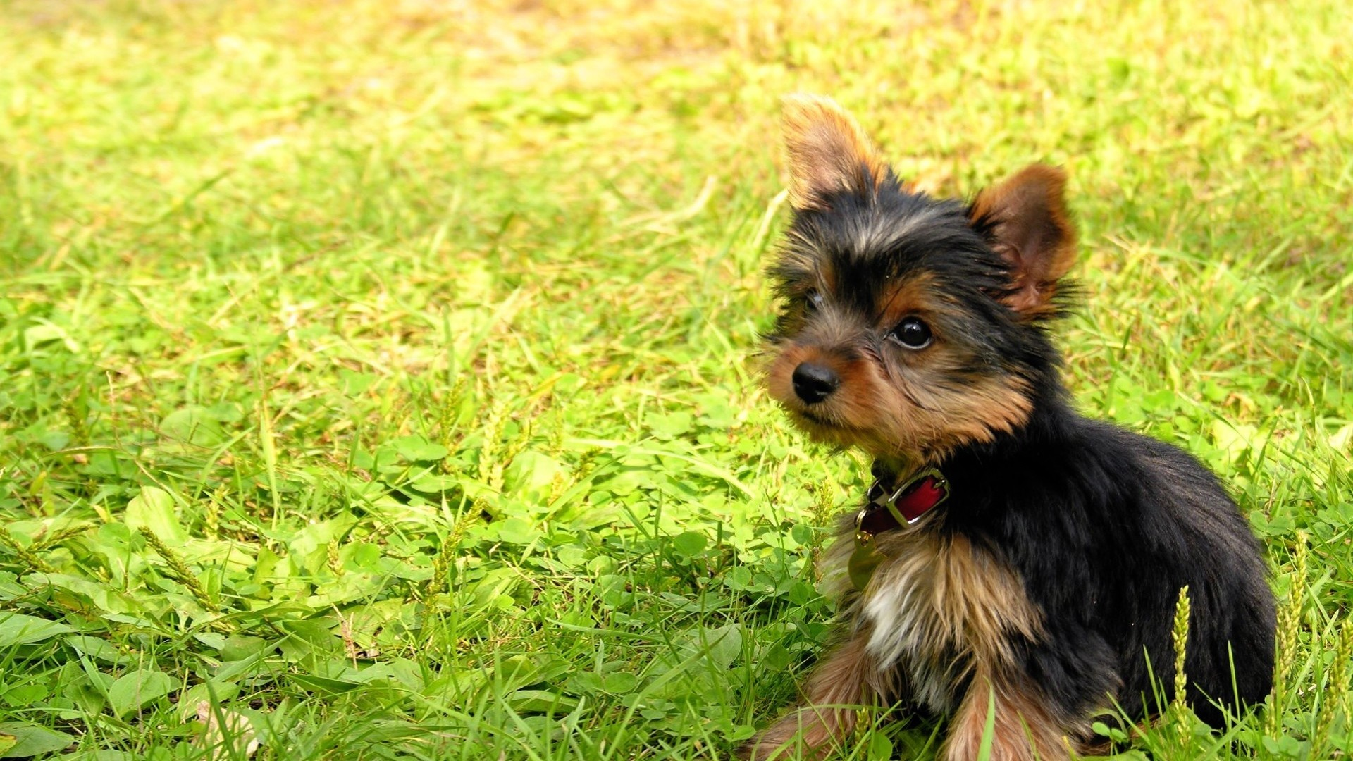 Preview wallpaper yorkshire terrier, puppy, baby, dog, grass 1920×1080
