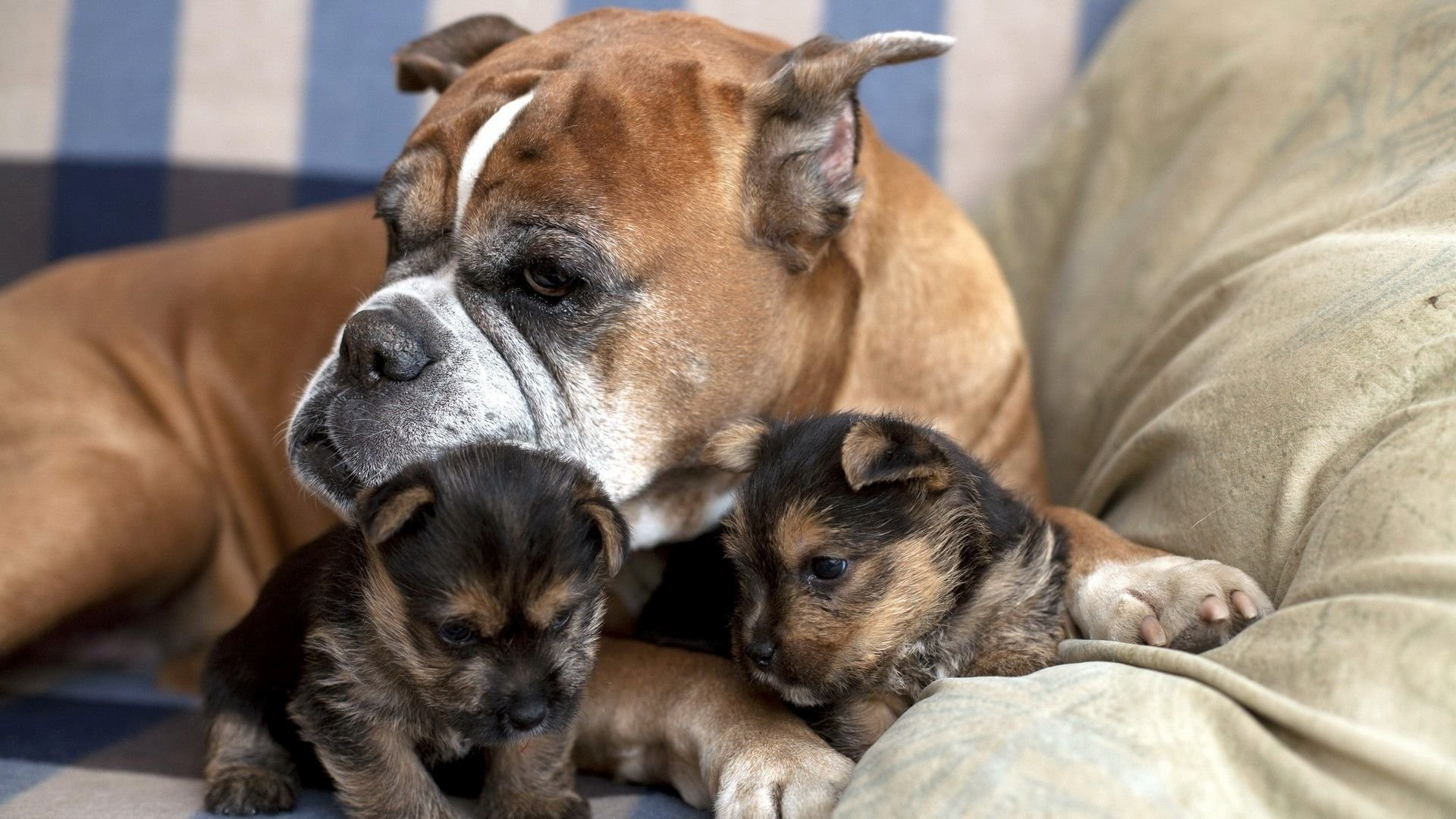 Boxer Taking Care Of Yorkie Puppies