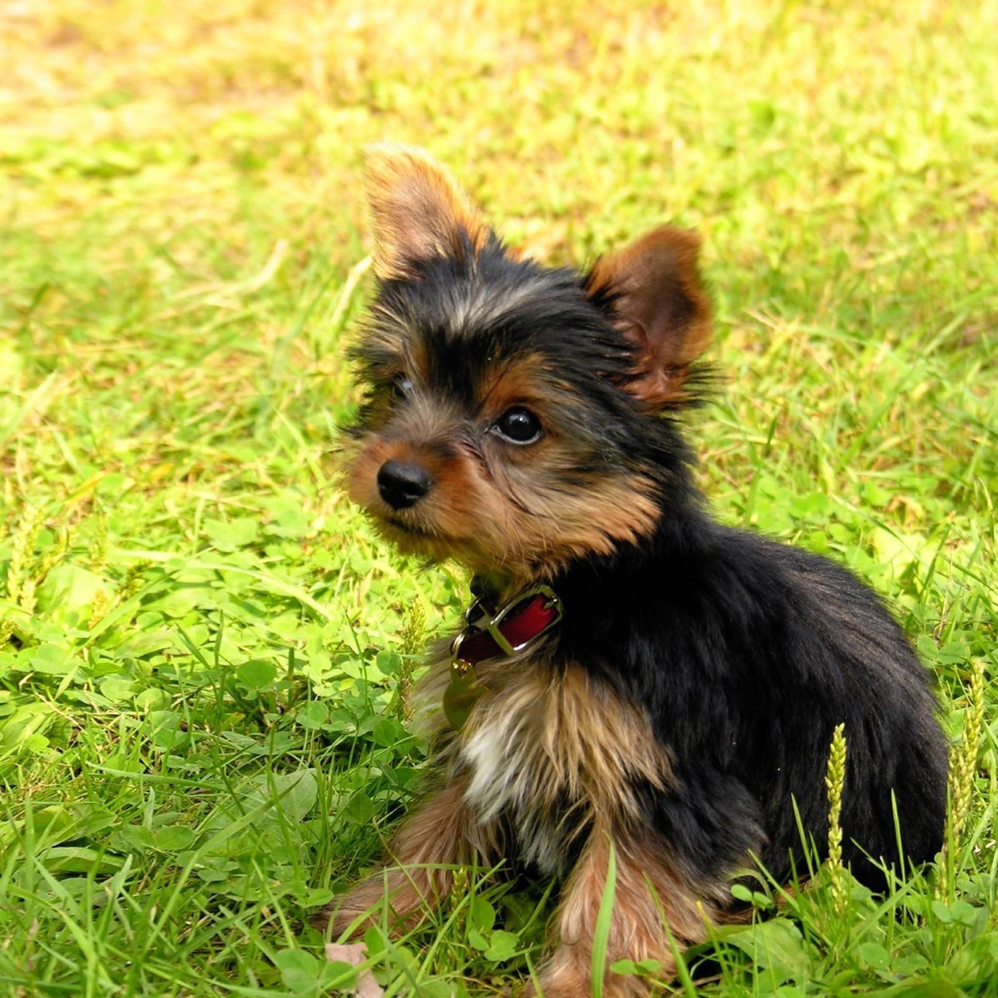 Wallpaper yorkshire terrier, puppy, baby, dog, grass