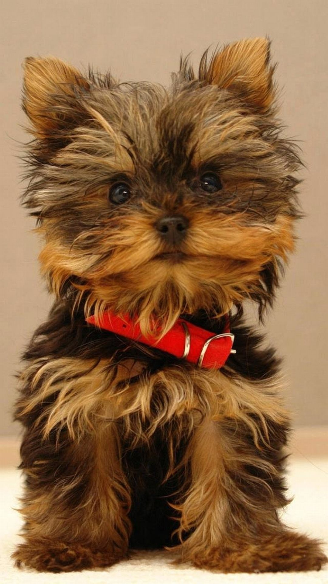 Yorkshire Terrier Cute Puppy Android Wallpaper …