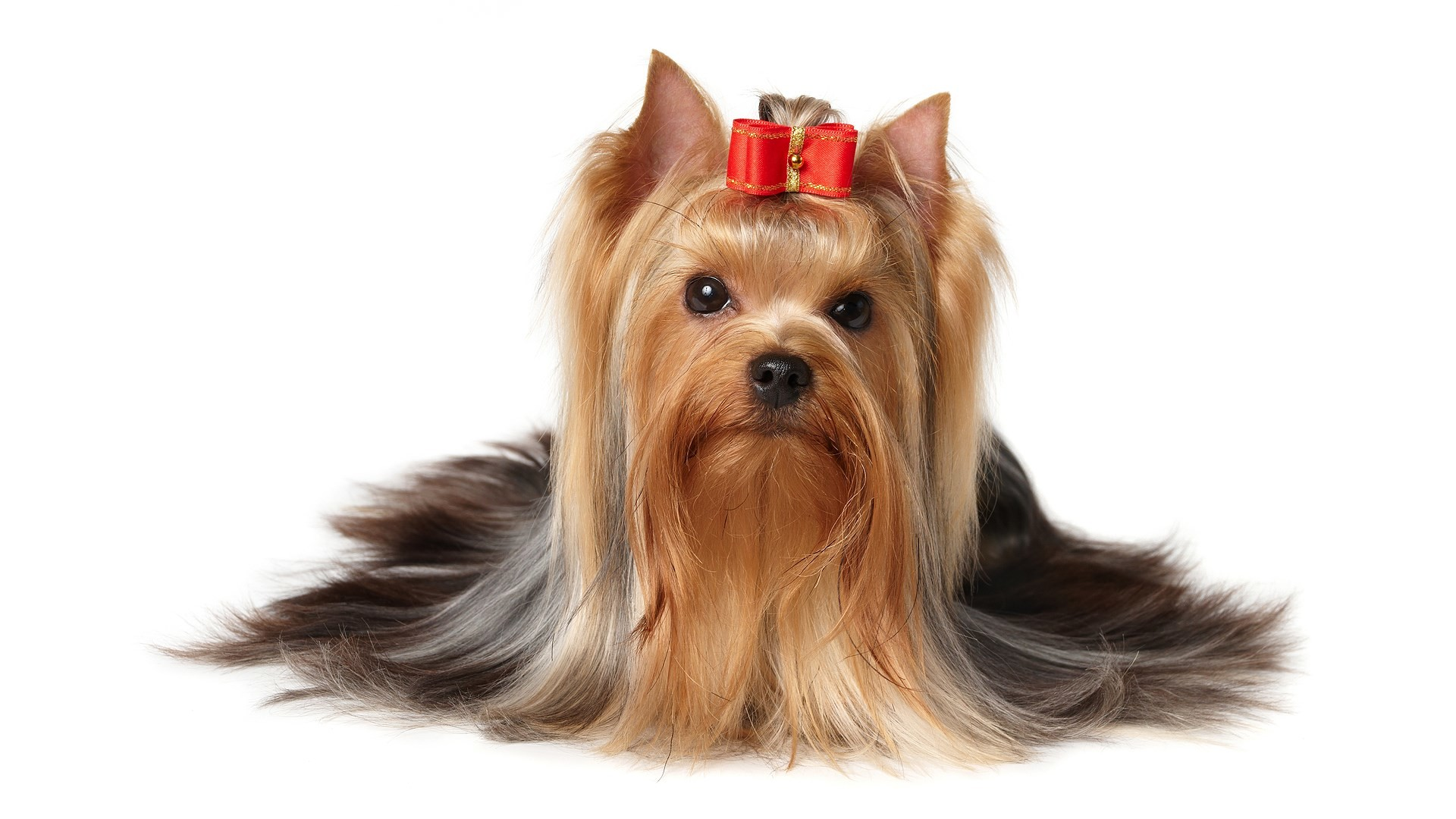 2017-03-01 – yorkshire terrier backgrounds images, #1411804 | ololoshenka |  Pinterest | Yorkshire terrier, Yorkshire and Terrier