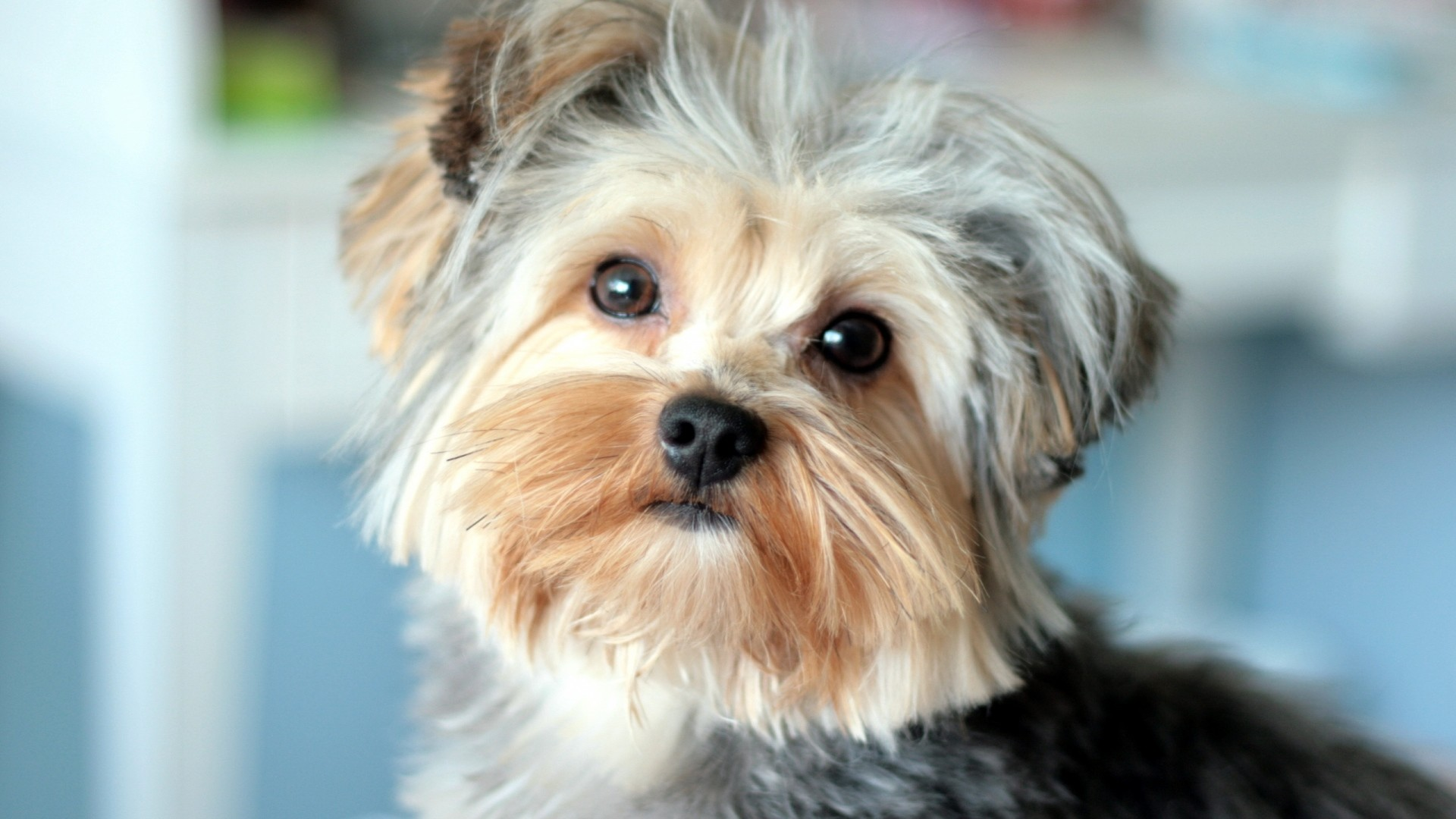 Preview wallpaper yorkshire terrier, face, handsome, well-groomed 1920×1080
