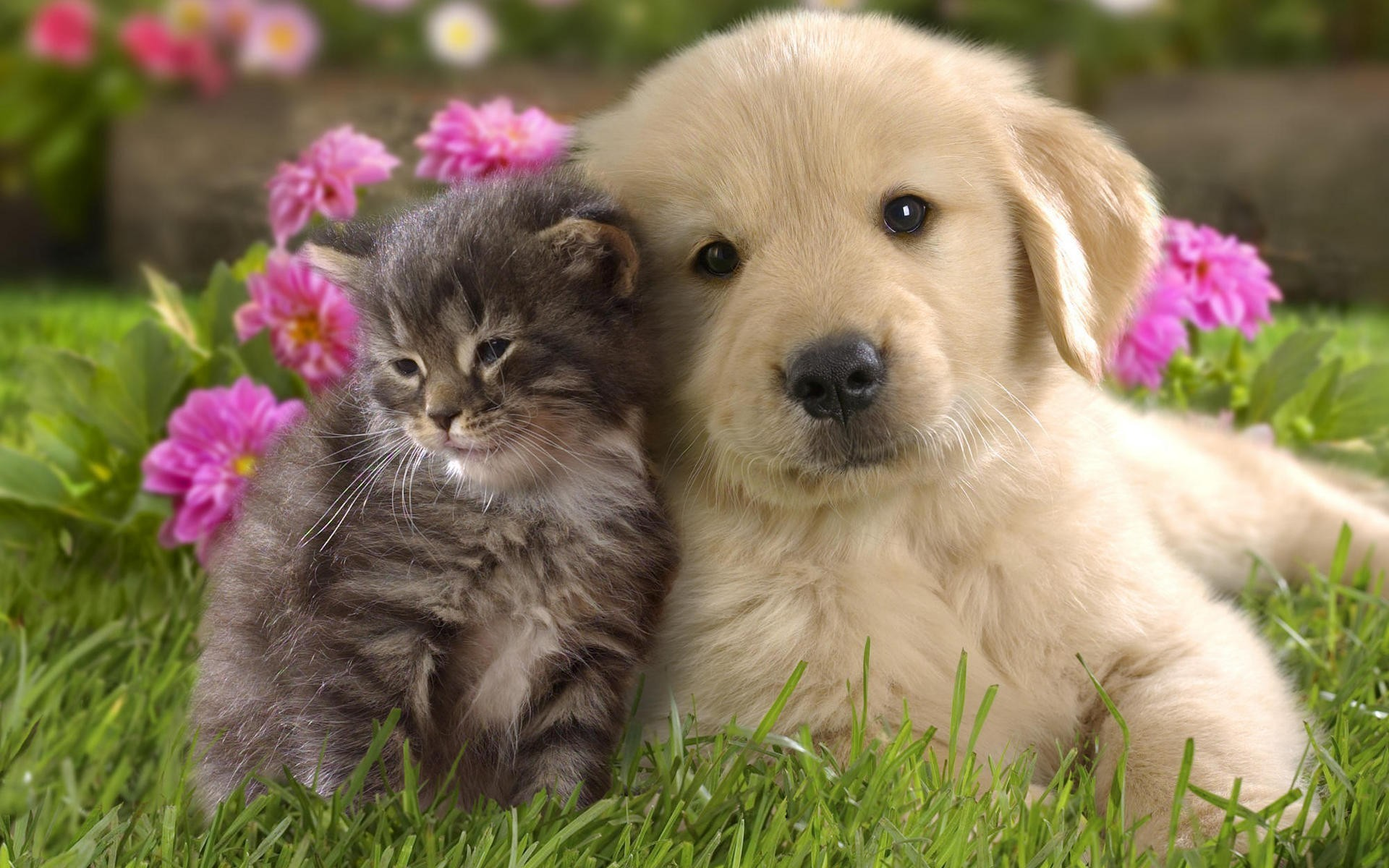 Download Cute Kitten And Puppy Wallpaper Free Wallpapers – PetPictures