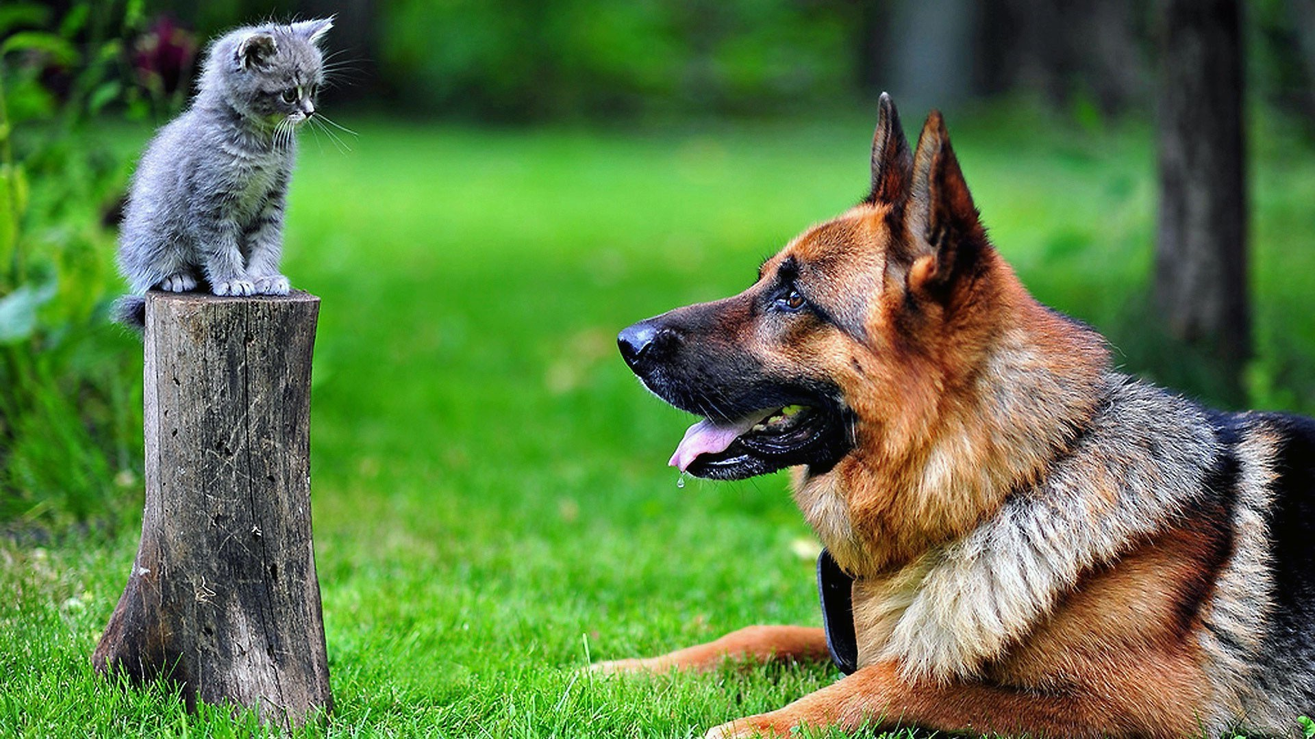 dog, Kittens, German Shepherd, Animals, Cat, Tree Stump Wallpapers HD /  Desktop and Mobile Backgrounds