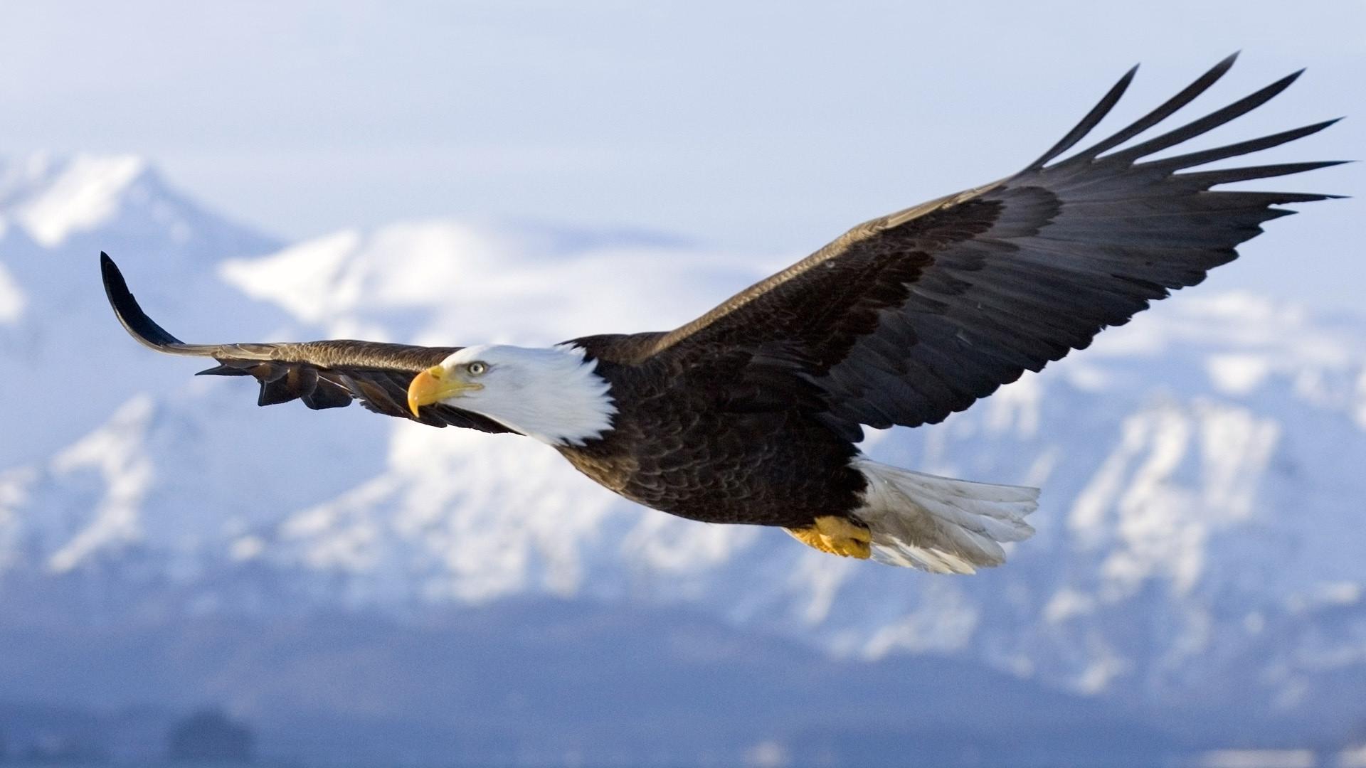 bald eagle, eagle, flight, wings