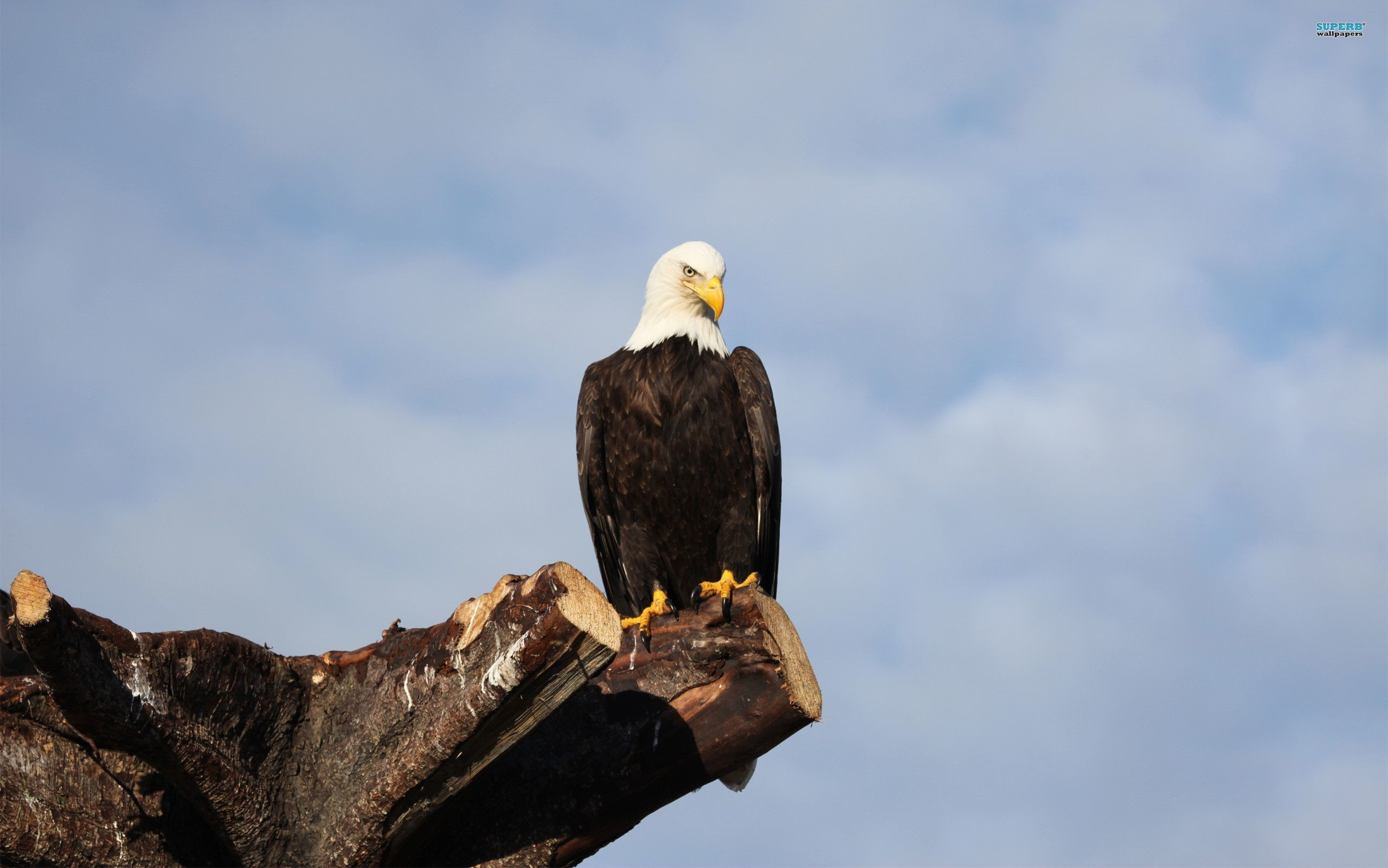 0 American Bald Eagle Wallpapers American Bald Eagle Wallpapers