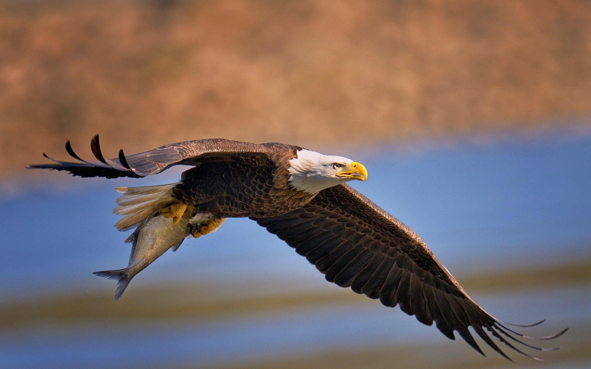 free desktop wallpaper downloads bald eagle – bald eagle category