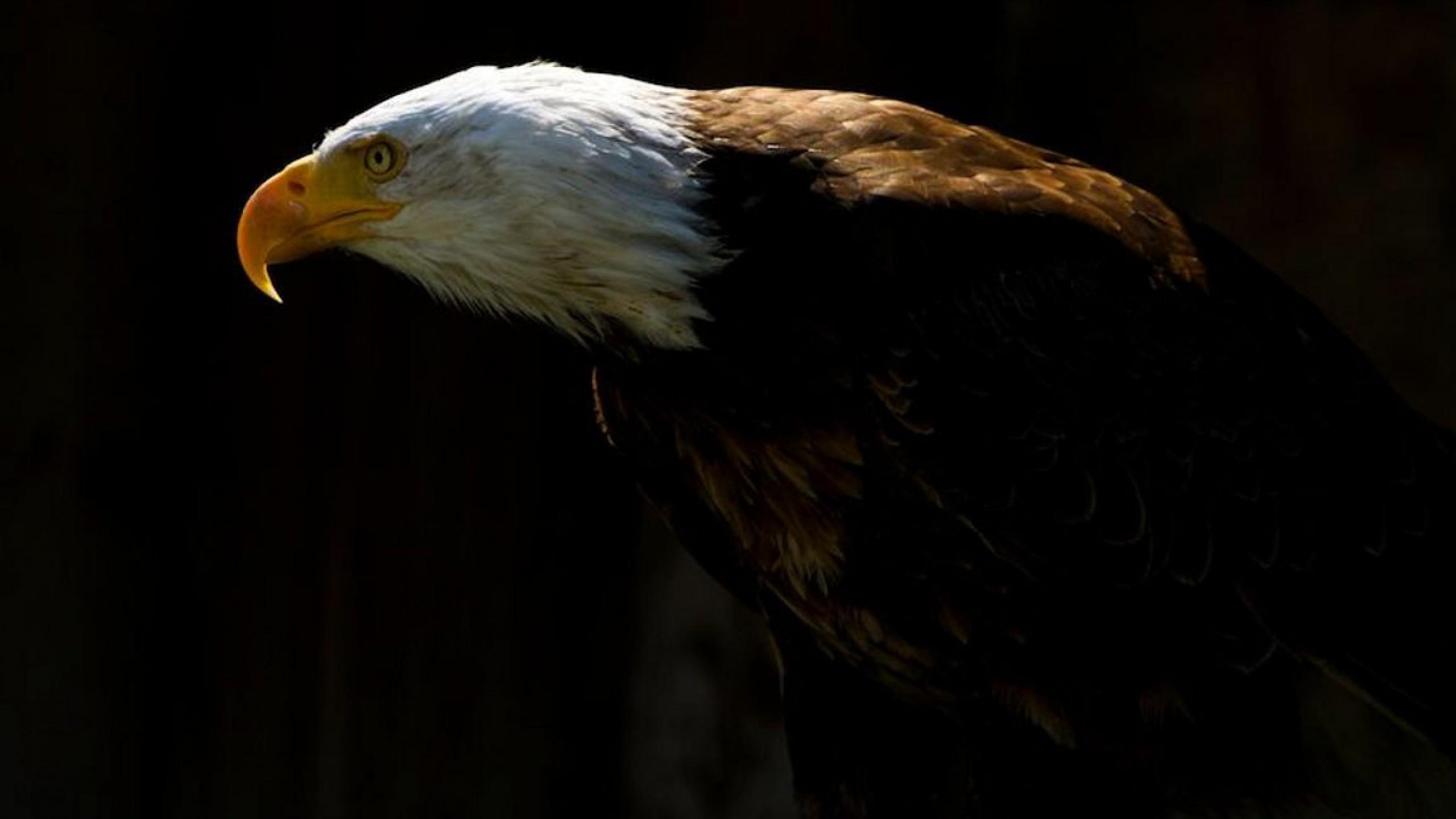 Bald Eagle Wallpaper HD 19761