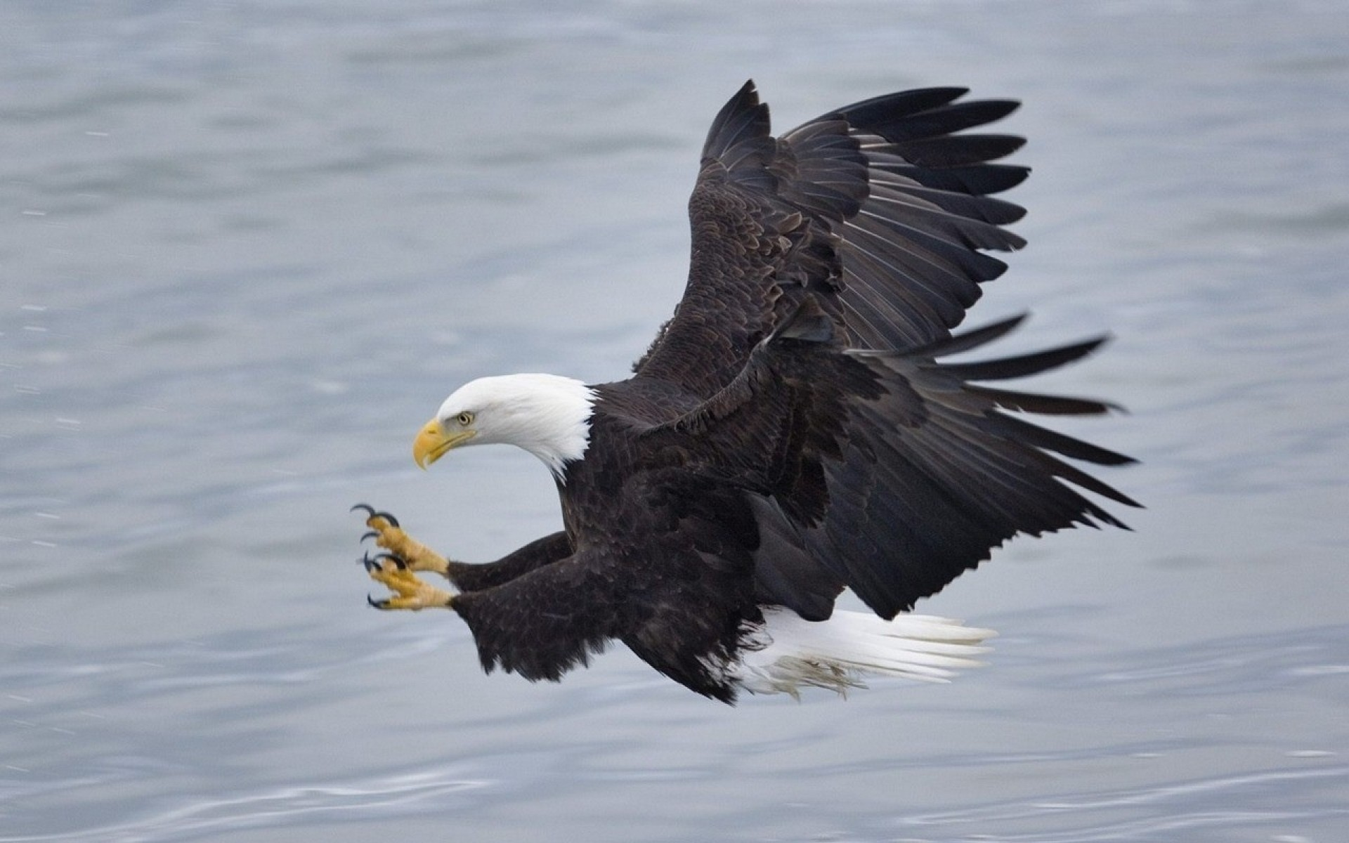 … Bald Eagle Widescreen Wallpaper