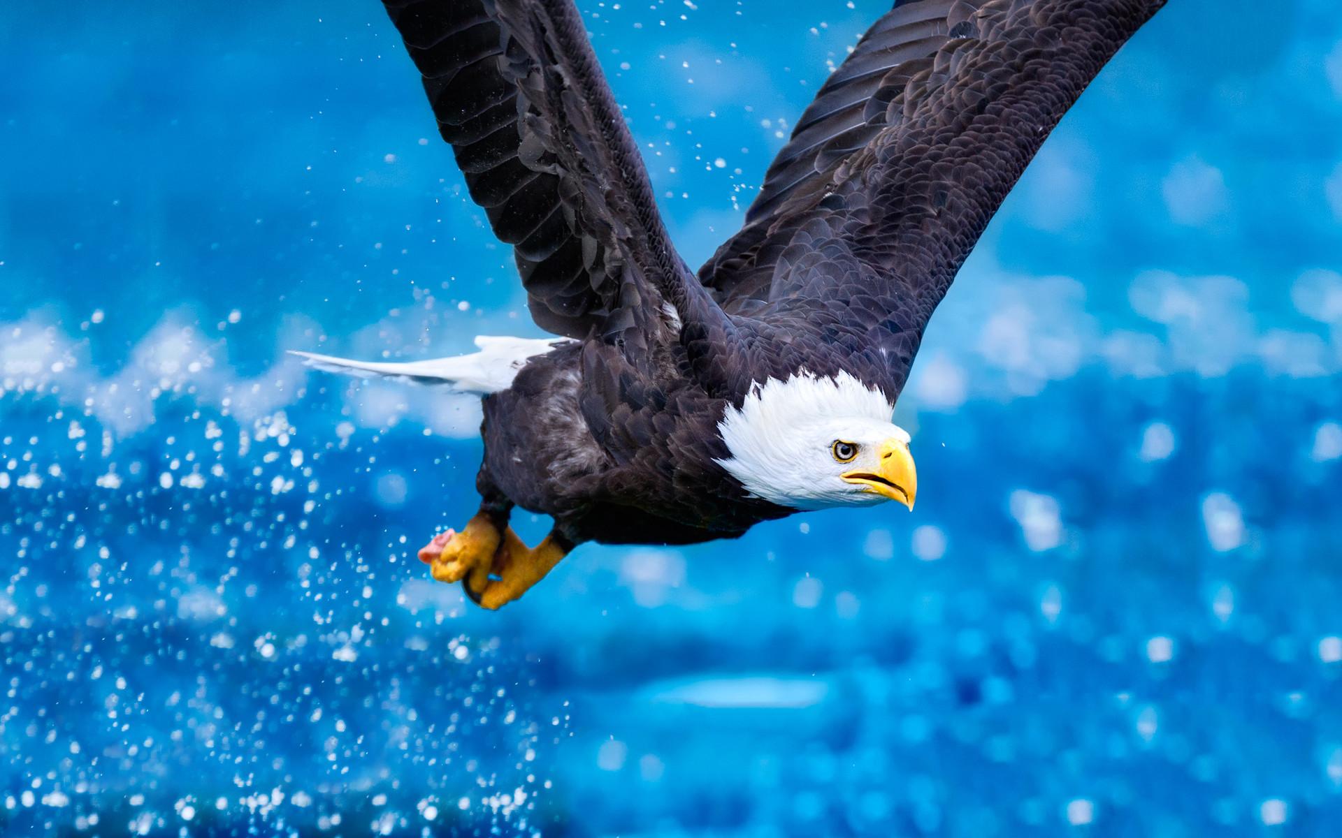 bald eagle wallpapers. Â«Â«