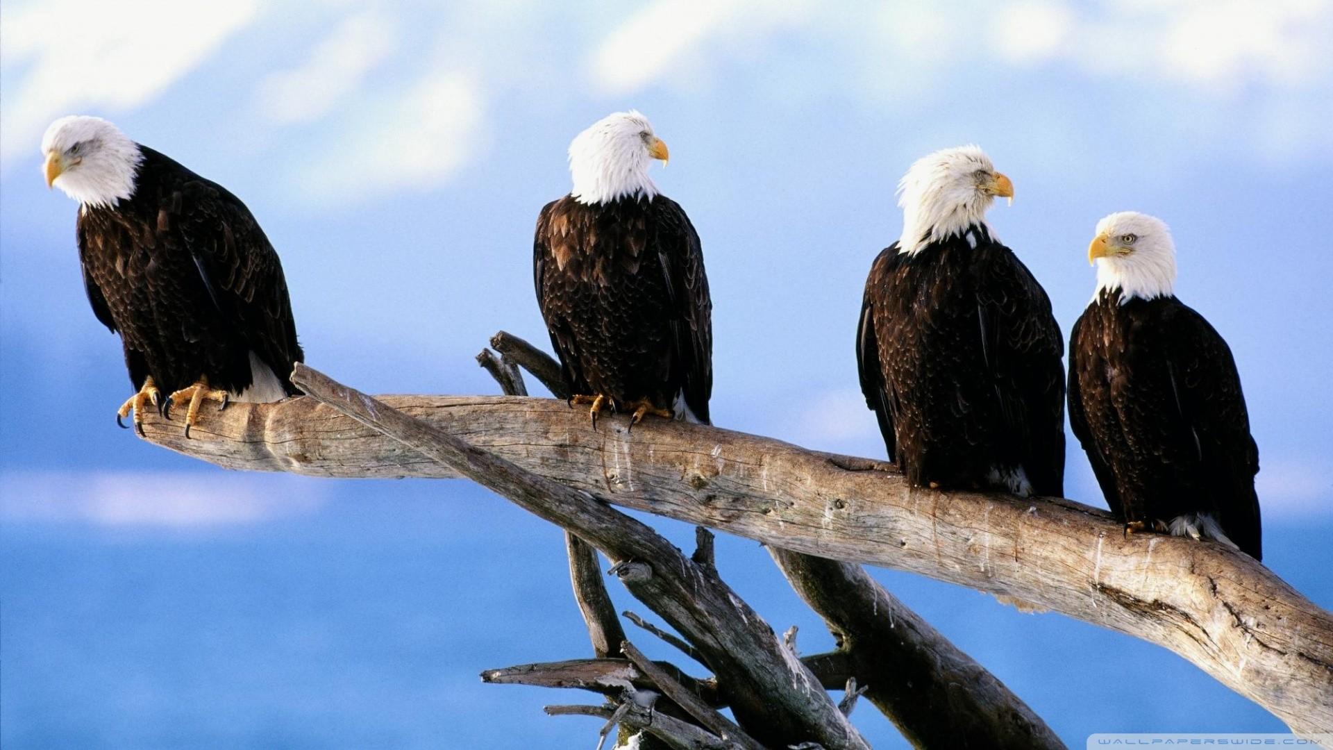 bald eagles photos