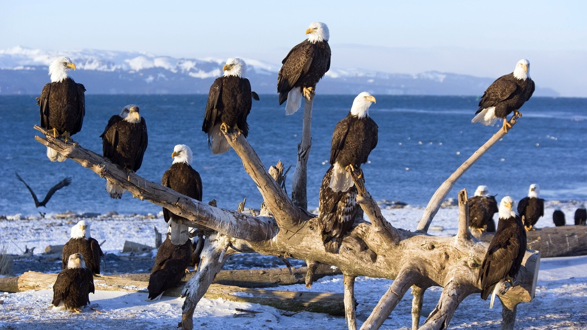 Animal – Bald Eagle Wallpaper