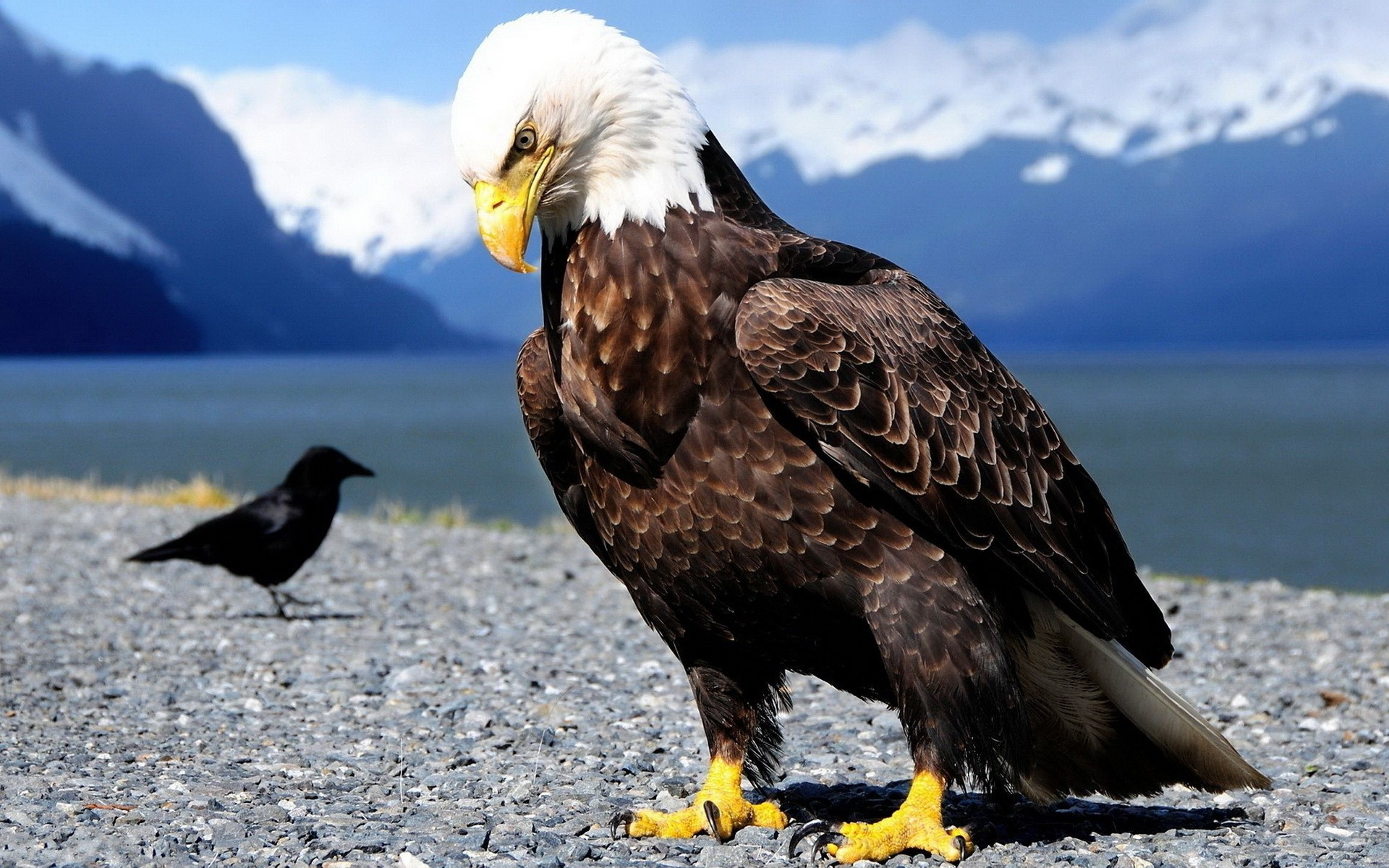 Eagles birds wallpapers bird
