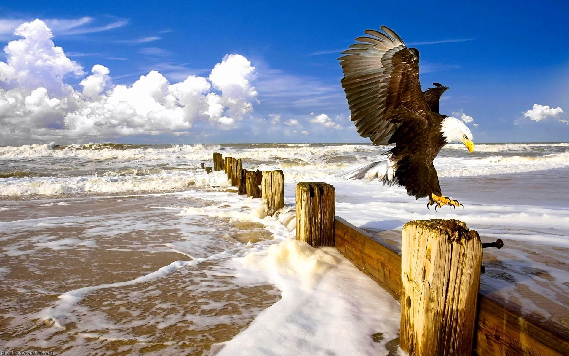 Animal – Bald Eagle Wallpaper · 277988