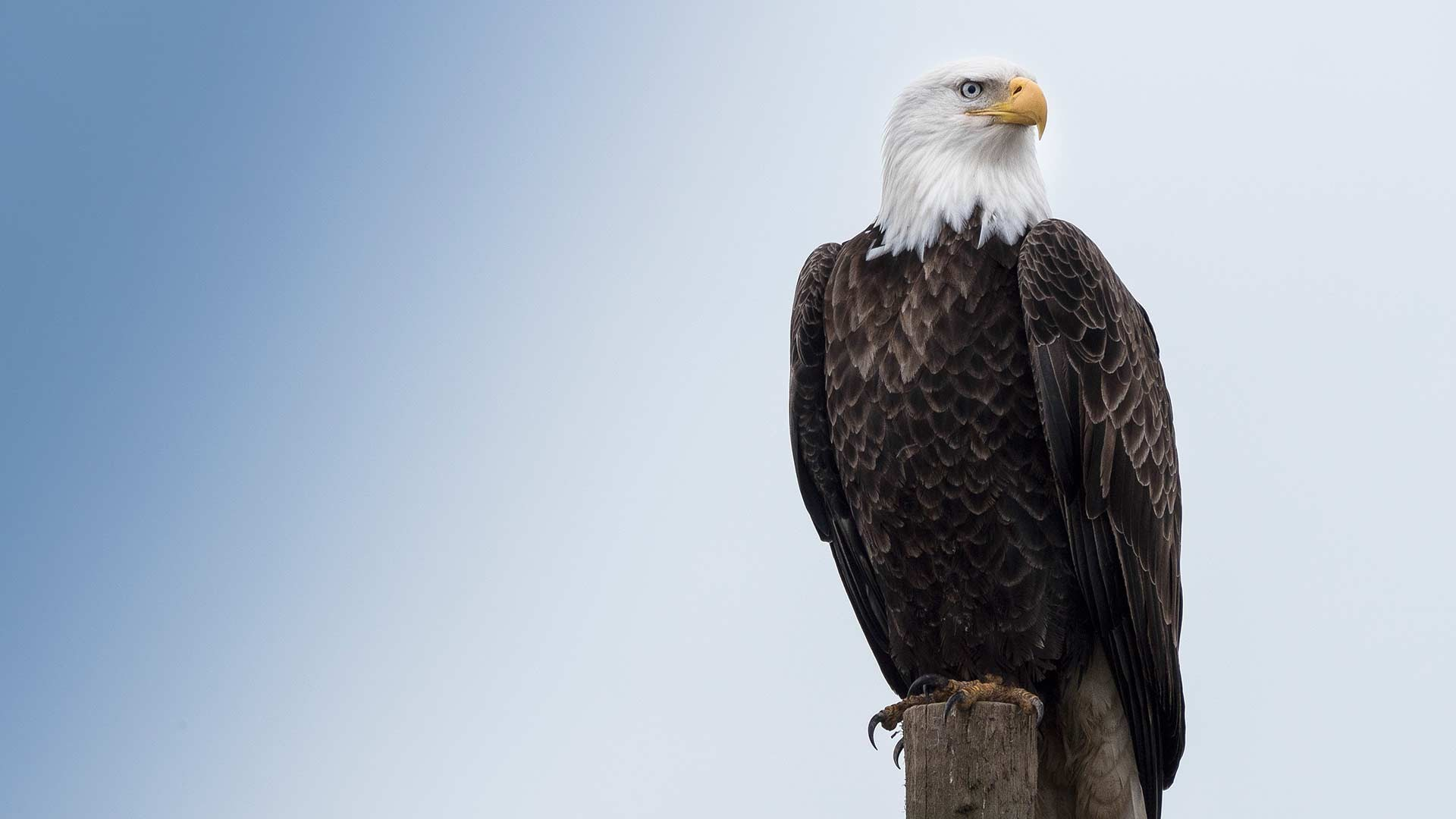 great bald eagle wallpaper