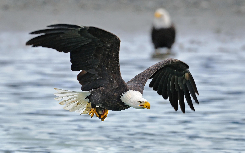 … Bald Eagle HD Wallpaper 2880×1800