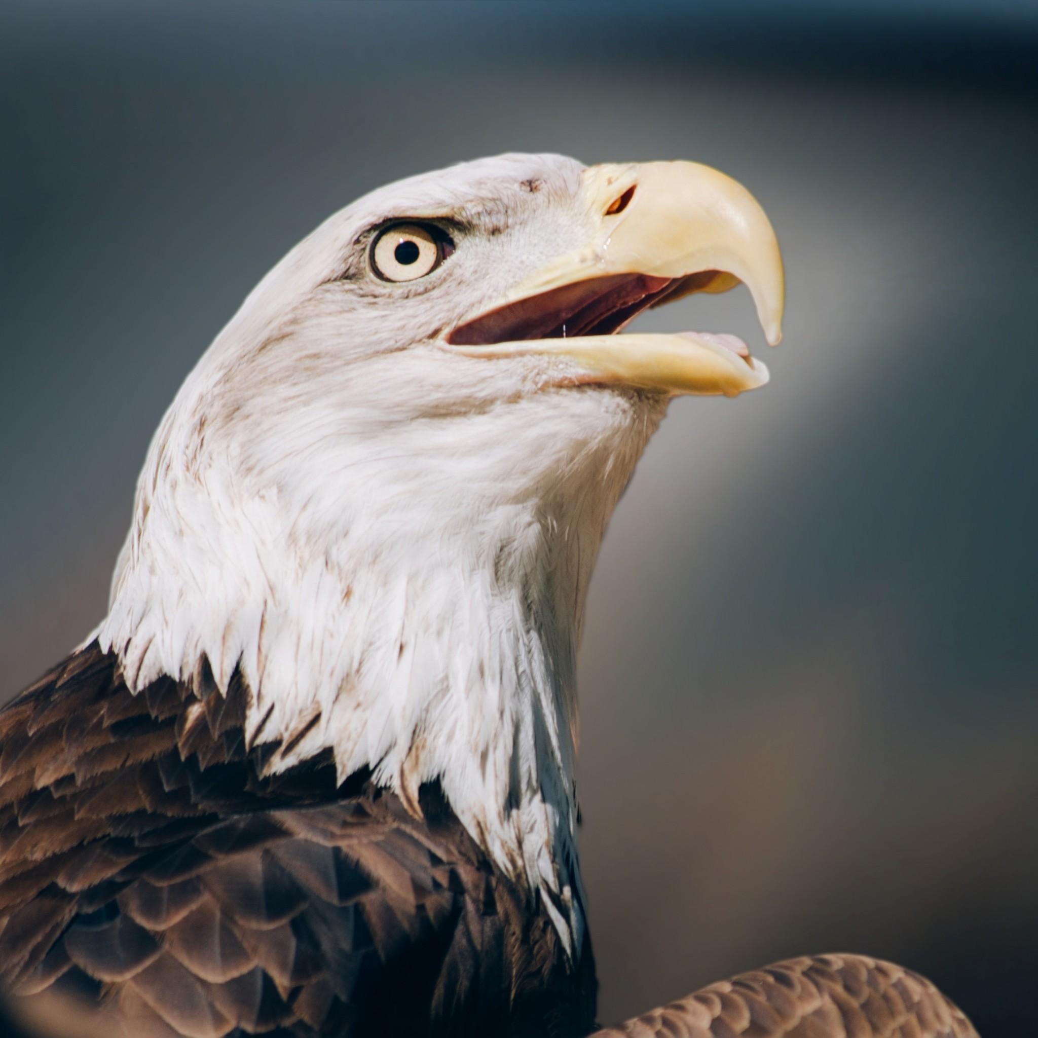 Preview wallpaper eagle, bald eagle, head, beak 2048×2048