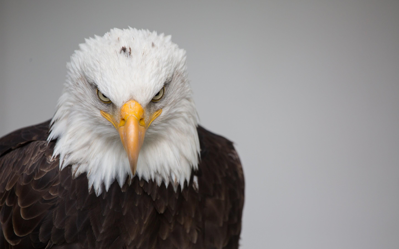 4K HD Wallpaper 3: Bald Eagle Portrait