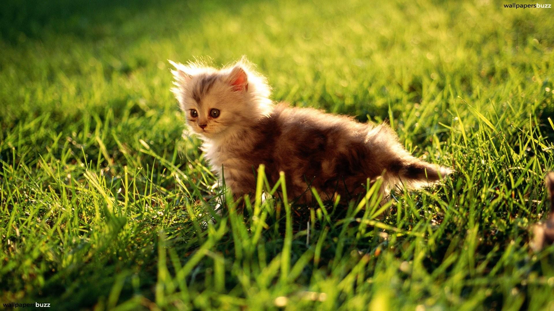 Fluffy Kitten. Kittens Cute Kitten
