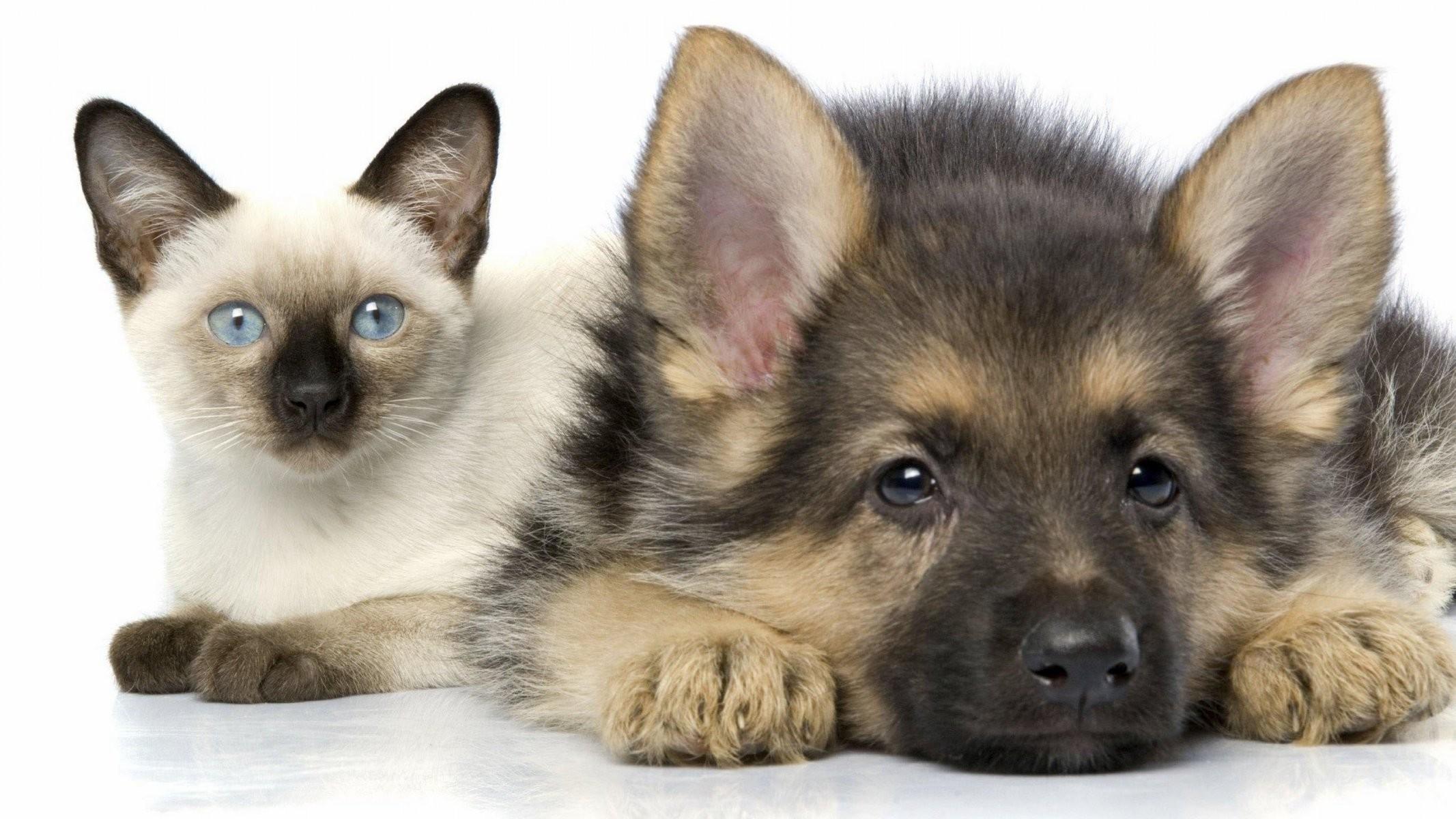 german shepherd dog puppy german shepherd kitten katty HD wallpaper
