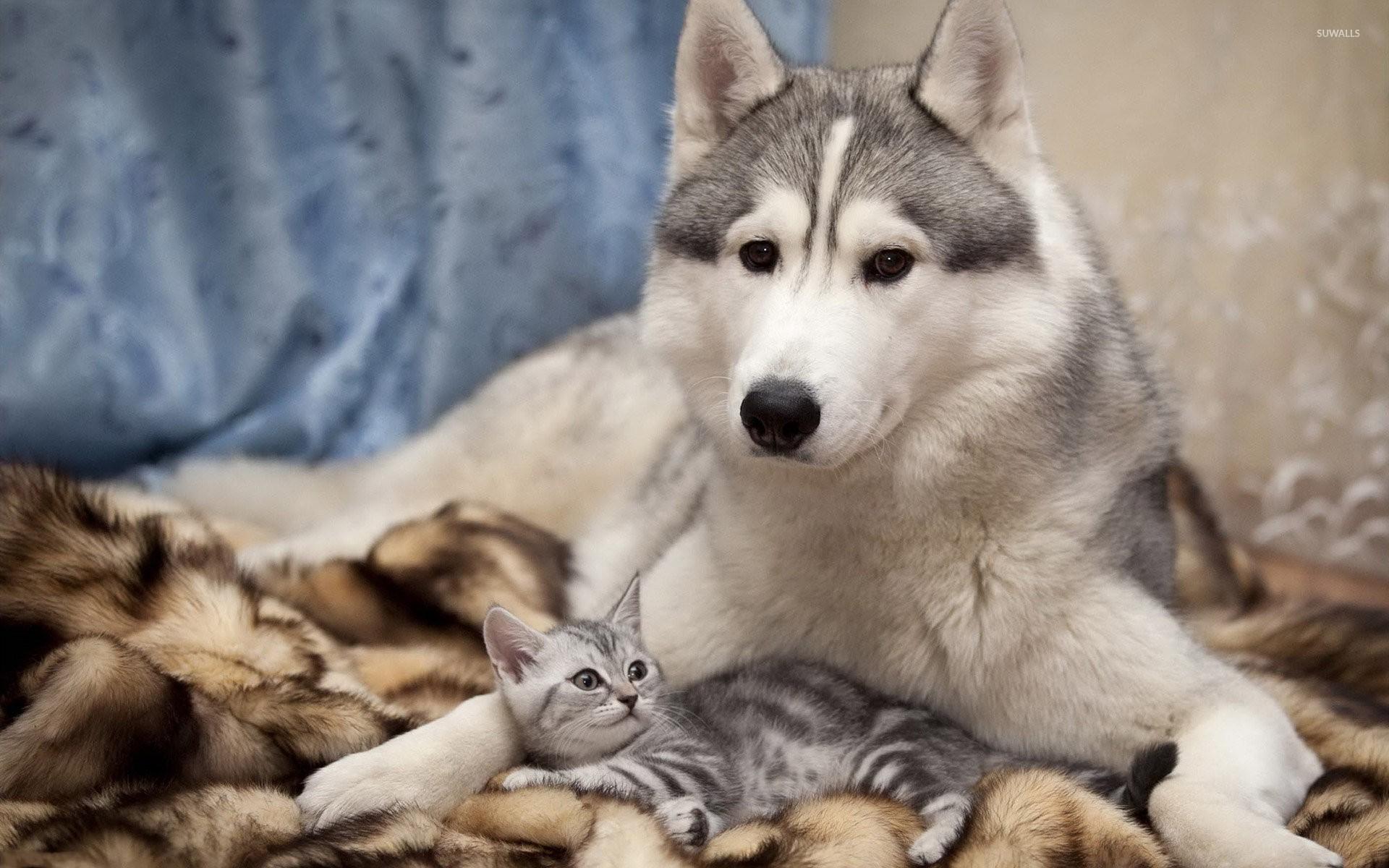 Siberian Husky with a kitten wallpaper jpg