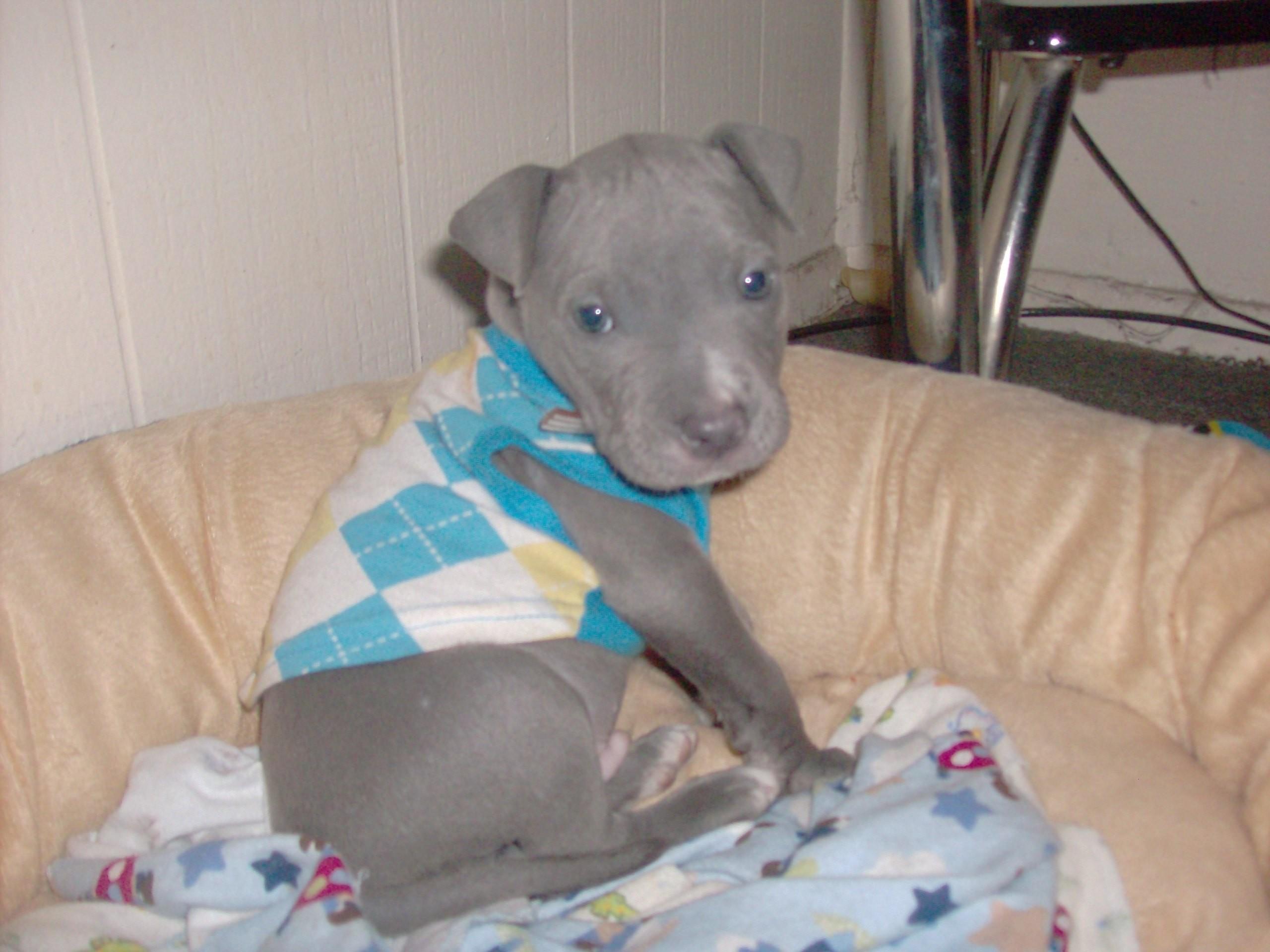 PitBulls images Bleu as a Puppy HD wallpaper and background photos