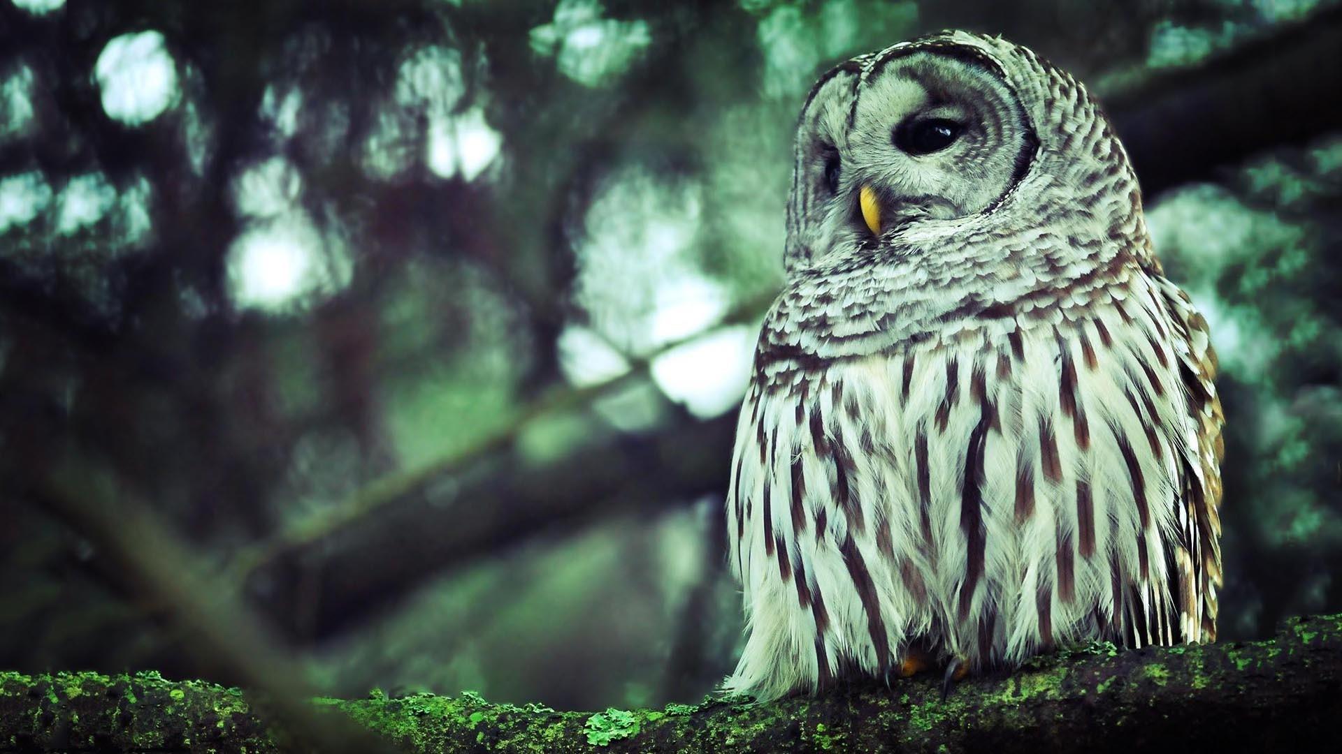Description: Owl HD Wallpaper is a hi res Wallpaper for pc desktops .