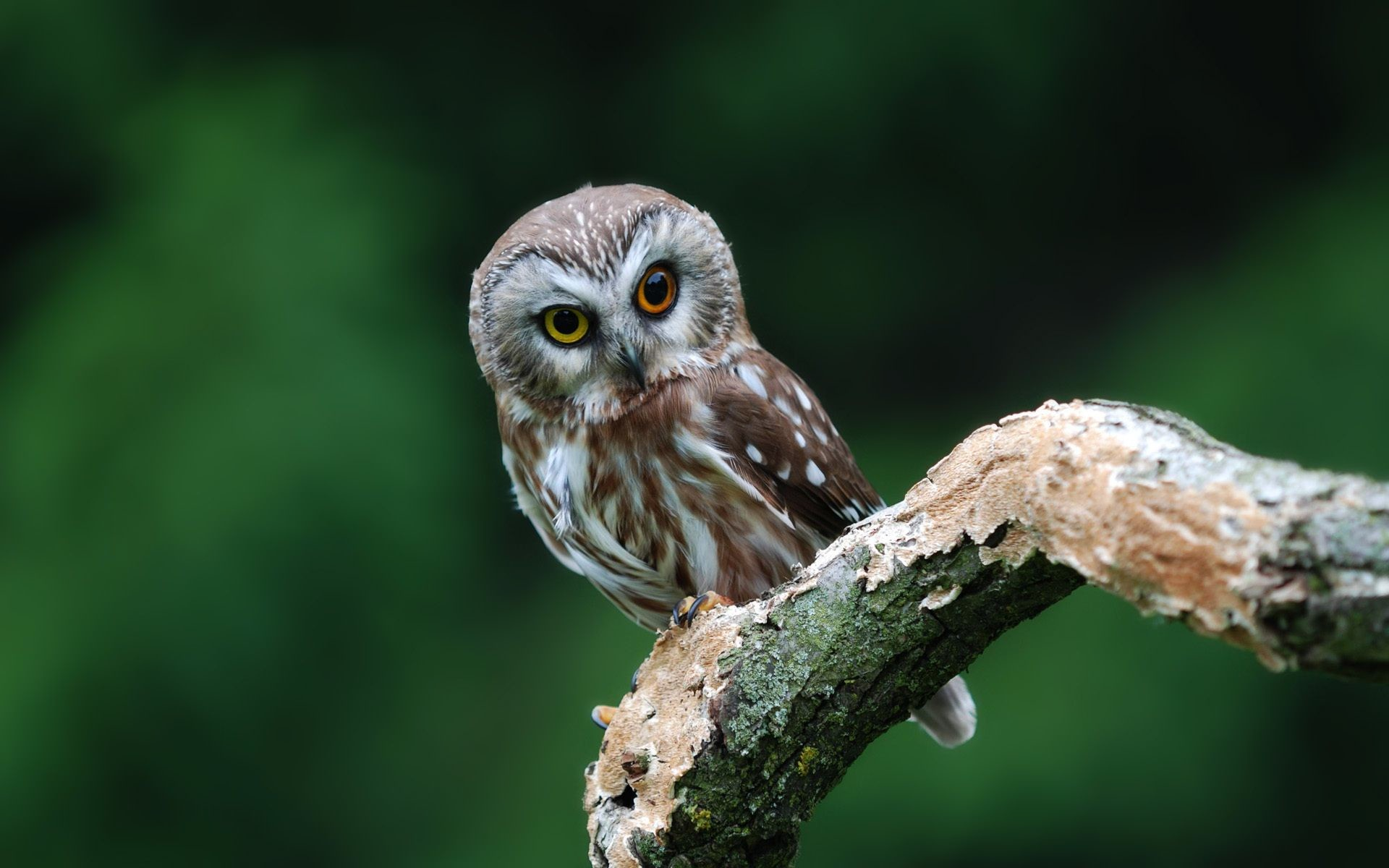 Barred Owl Wallpapers High Resolution