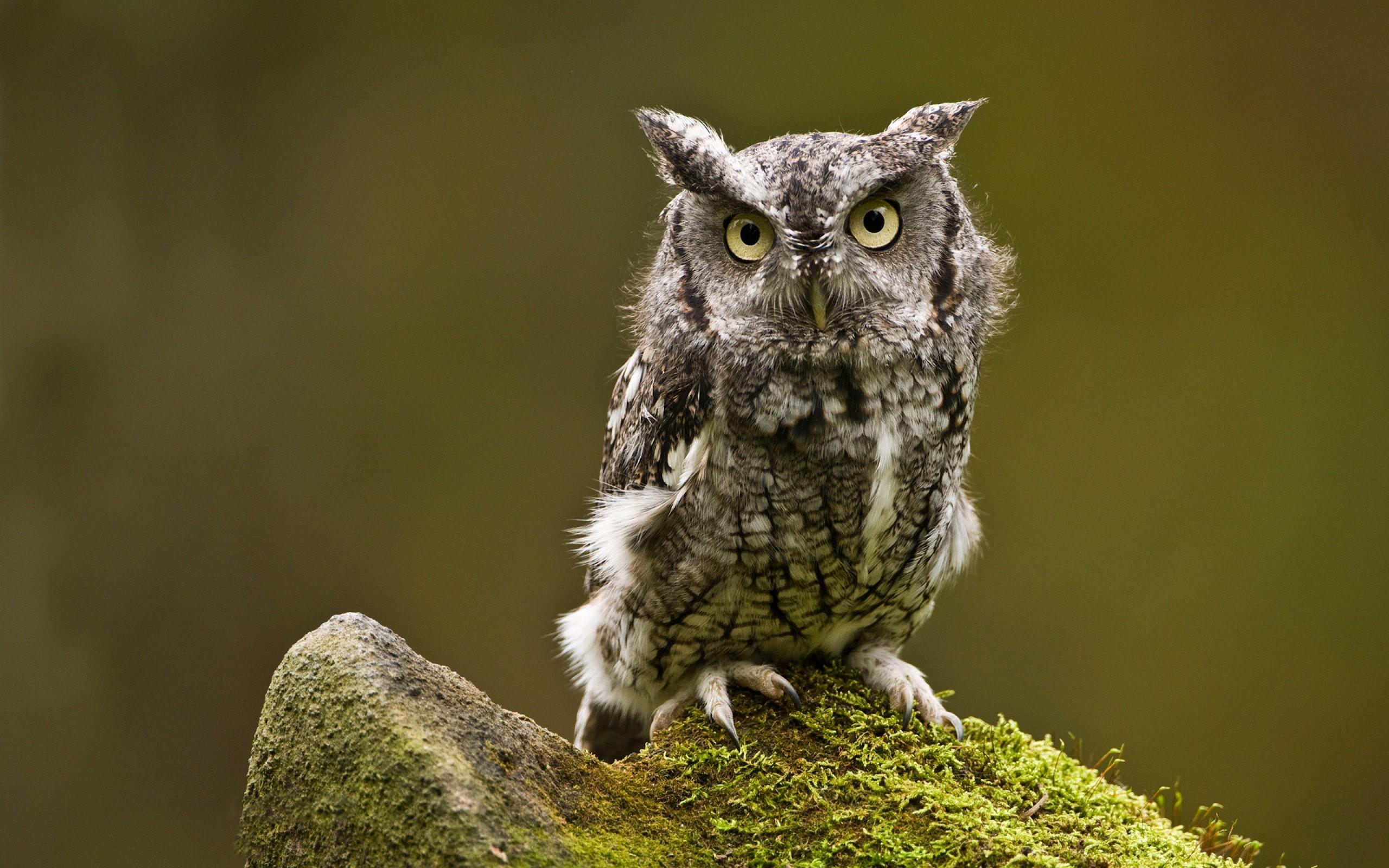 Owl High Quality Wallpaper