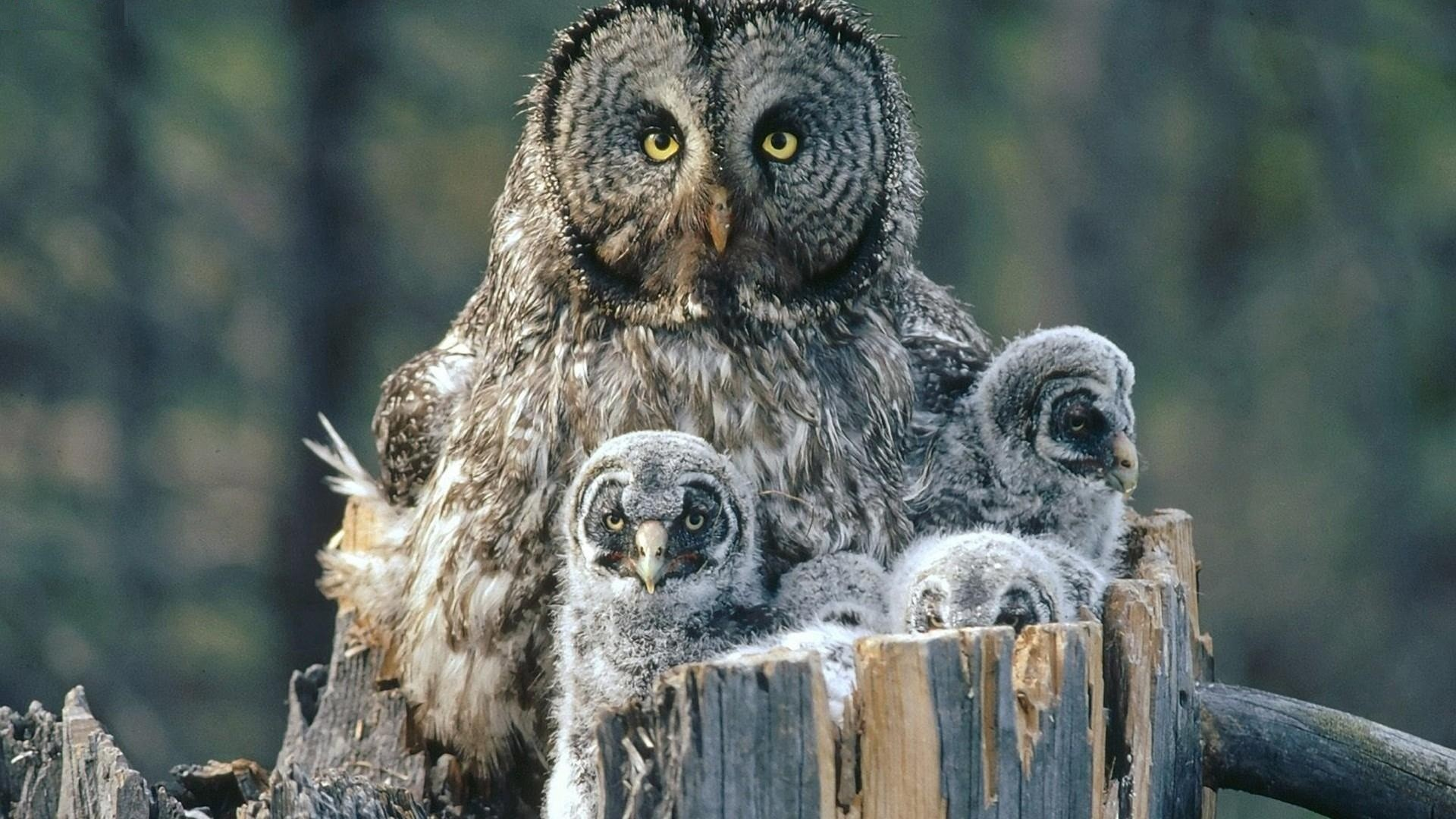 Birds-Family-Owls-Backgrounds-Baby-High-Resolution-Pictures-