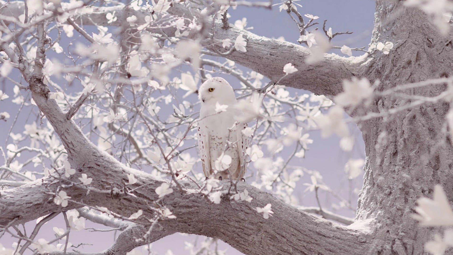 White Owl wallpapers. White Owl High quality wallpapers