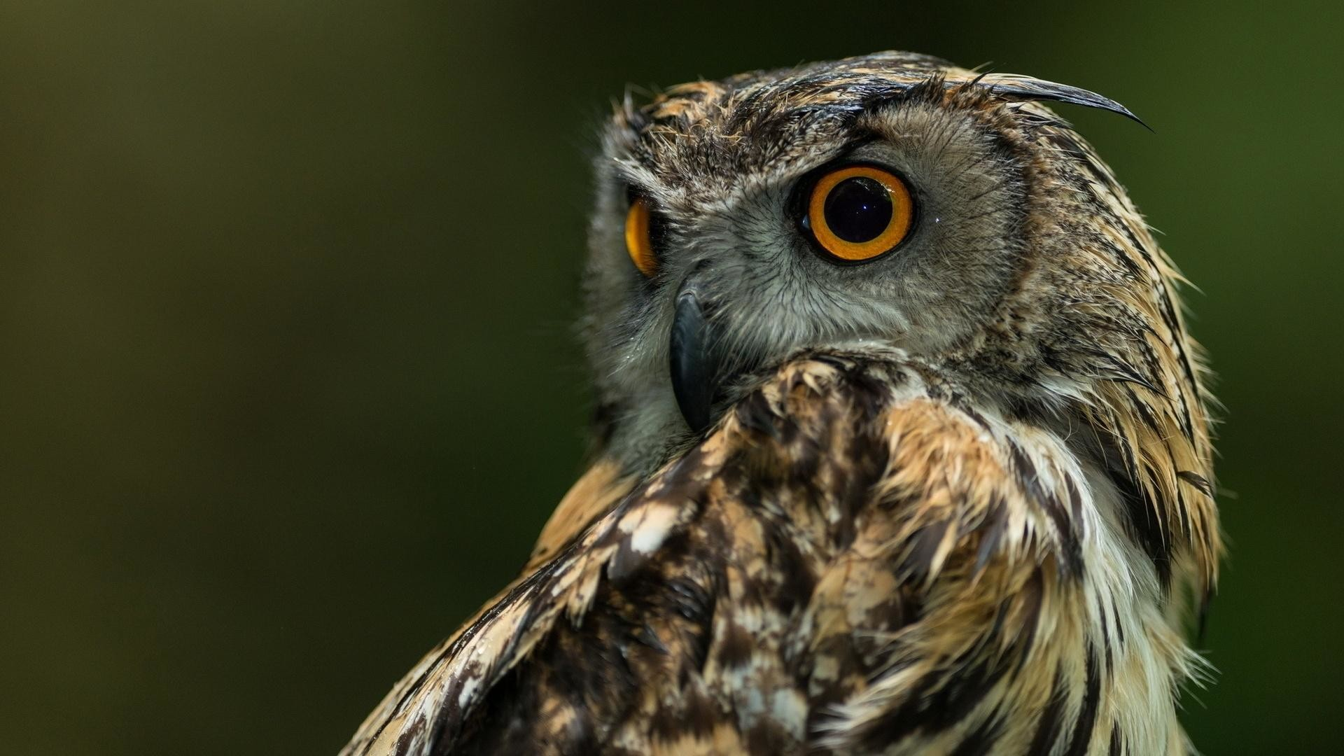 6. owl-wallpaper-HD6-600×338