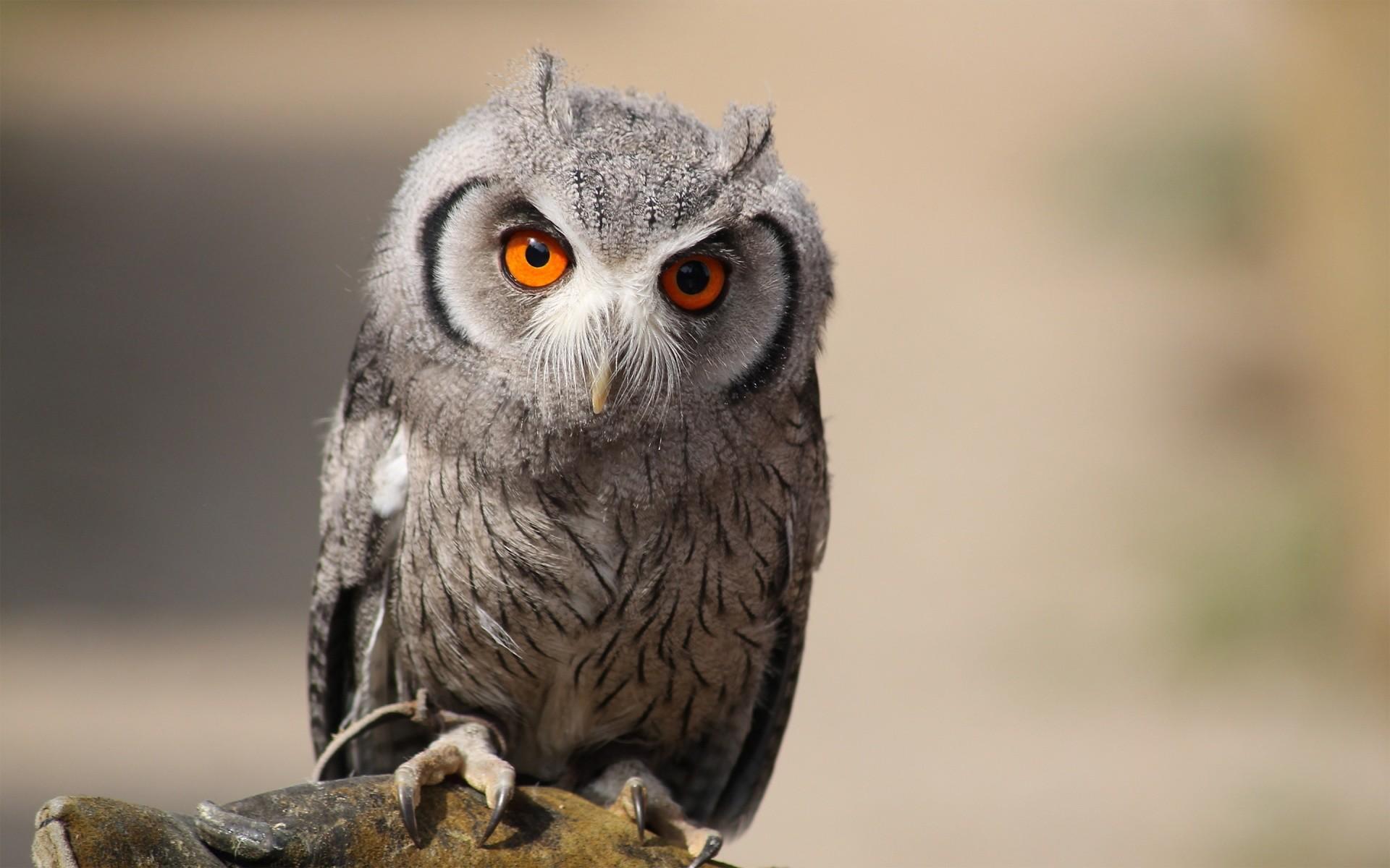 Eurasian scops owl Wallpaper in 1920×1200